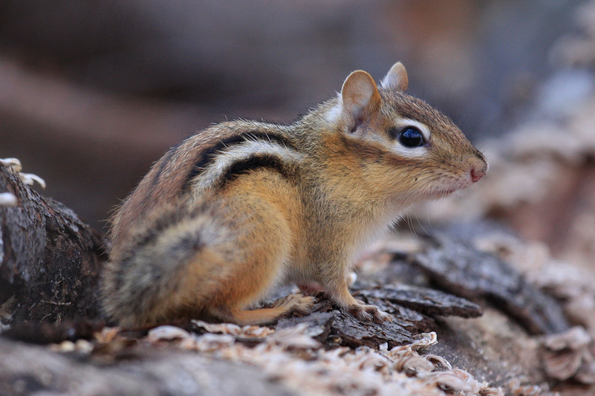 Eastern chipmunk (Tamias striatus) a widely distributed, fat-storing hibernating squirrel.