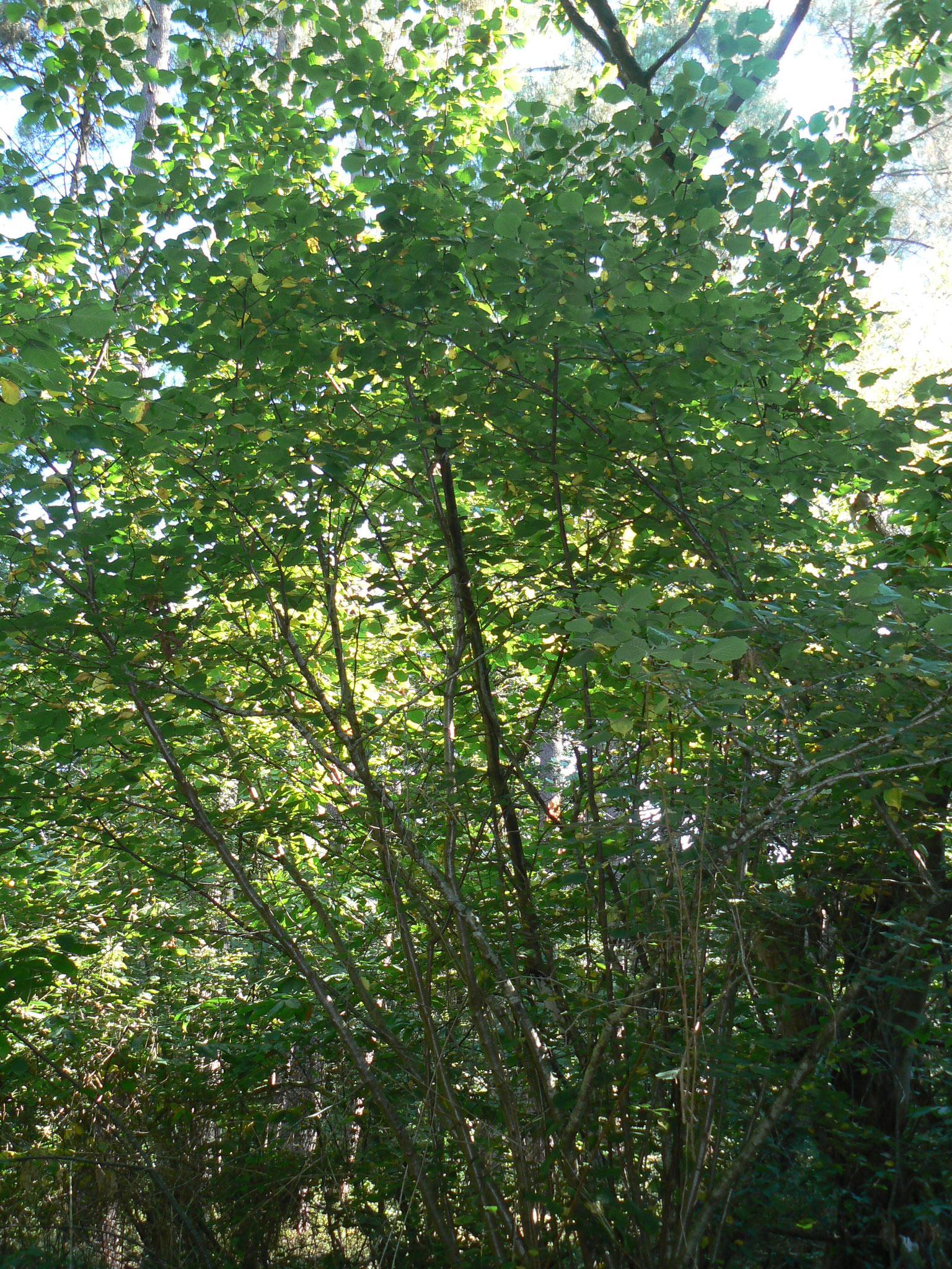 Noisetier sauvage « Corylus avellana »  Plus beaucoup de noisettes pour subsister cet hiver «  l'écureuil a tout pris »