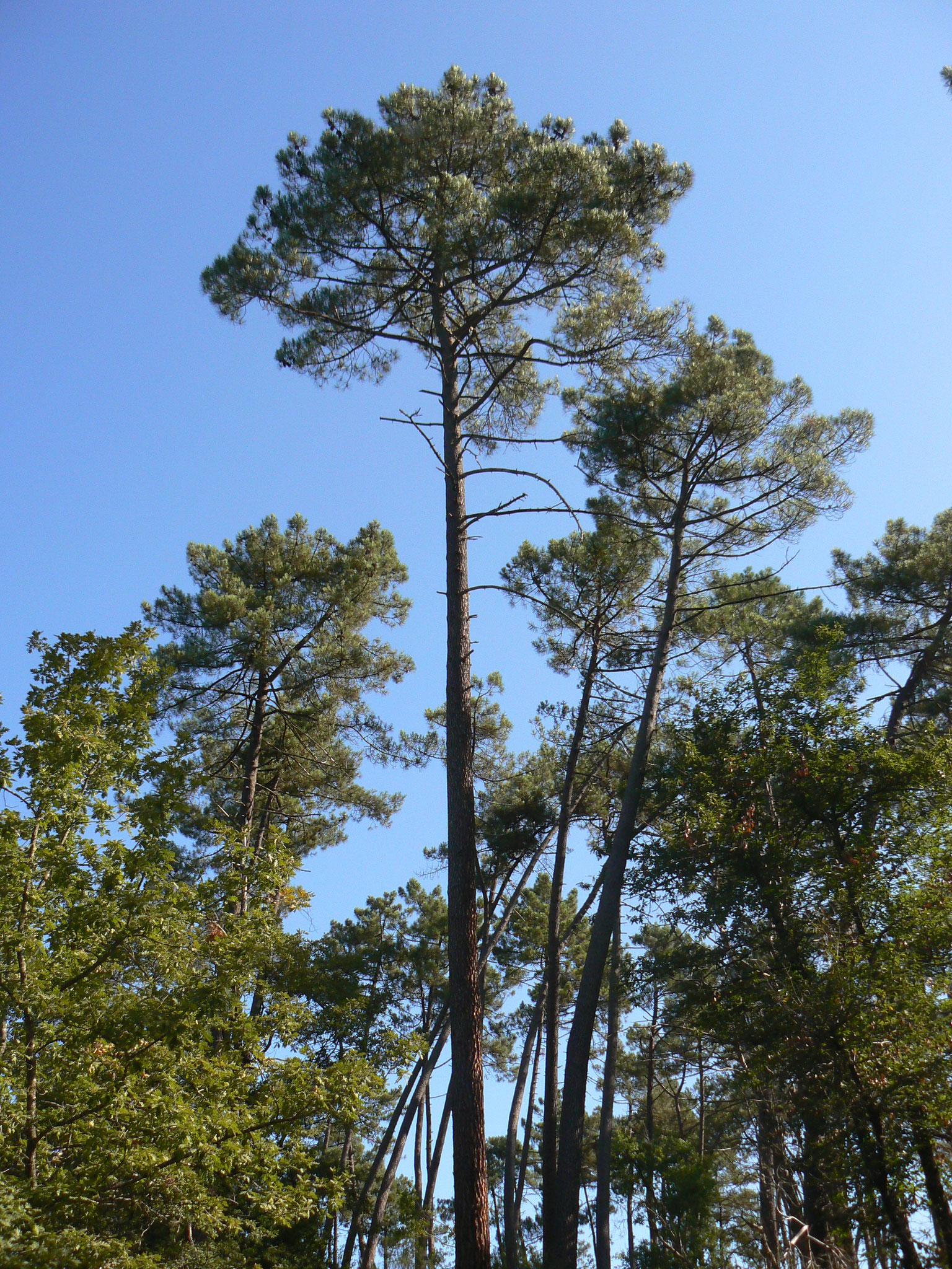 Les « Pinus Pinaster » de notre forêt du Landais