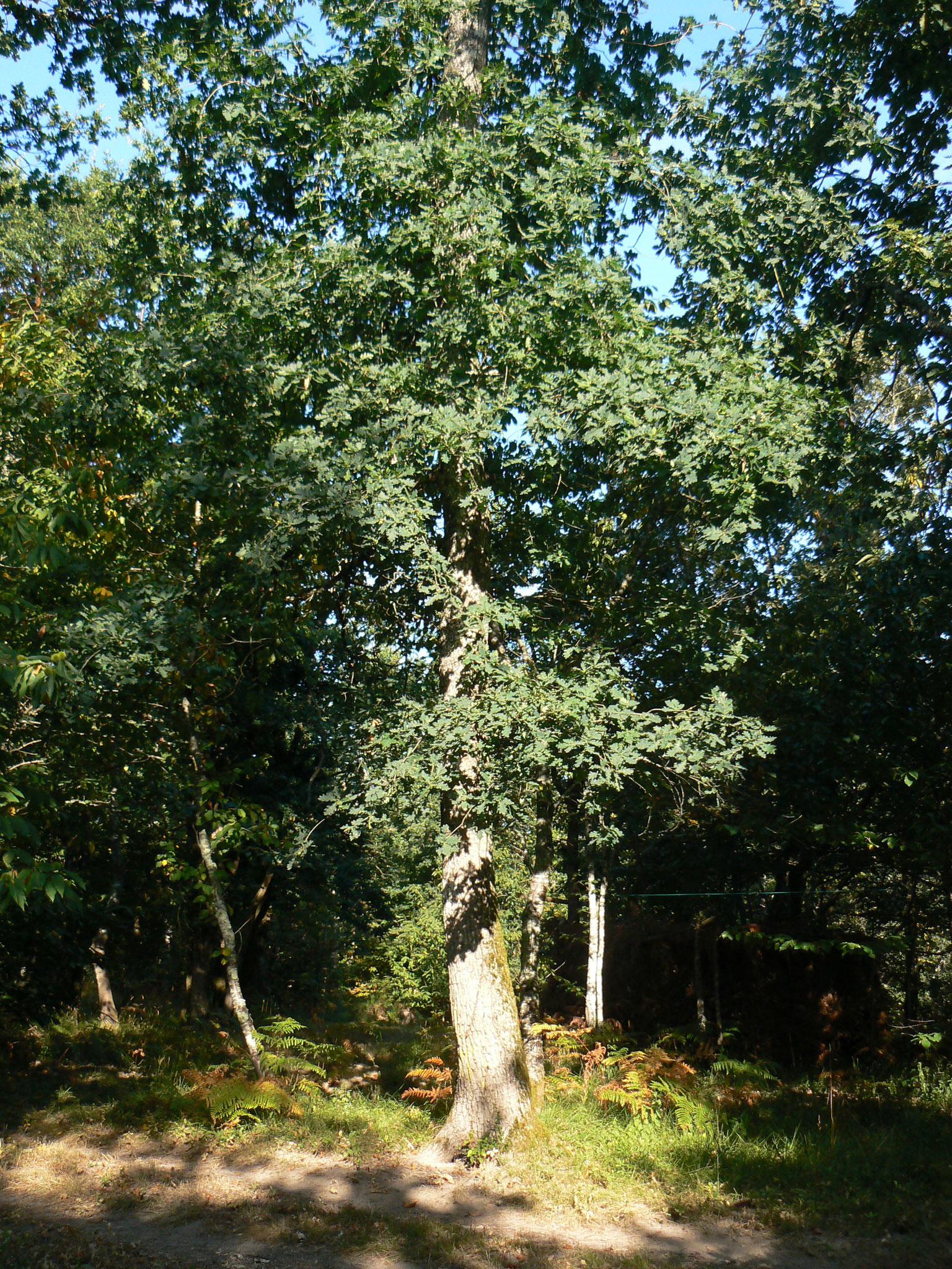 Chêne Pédonculé  « Quercus Robur »  Arbre majestueux à Protéger et à Favoriser pour le reboisement