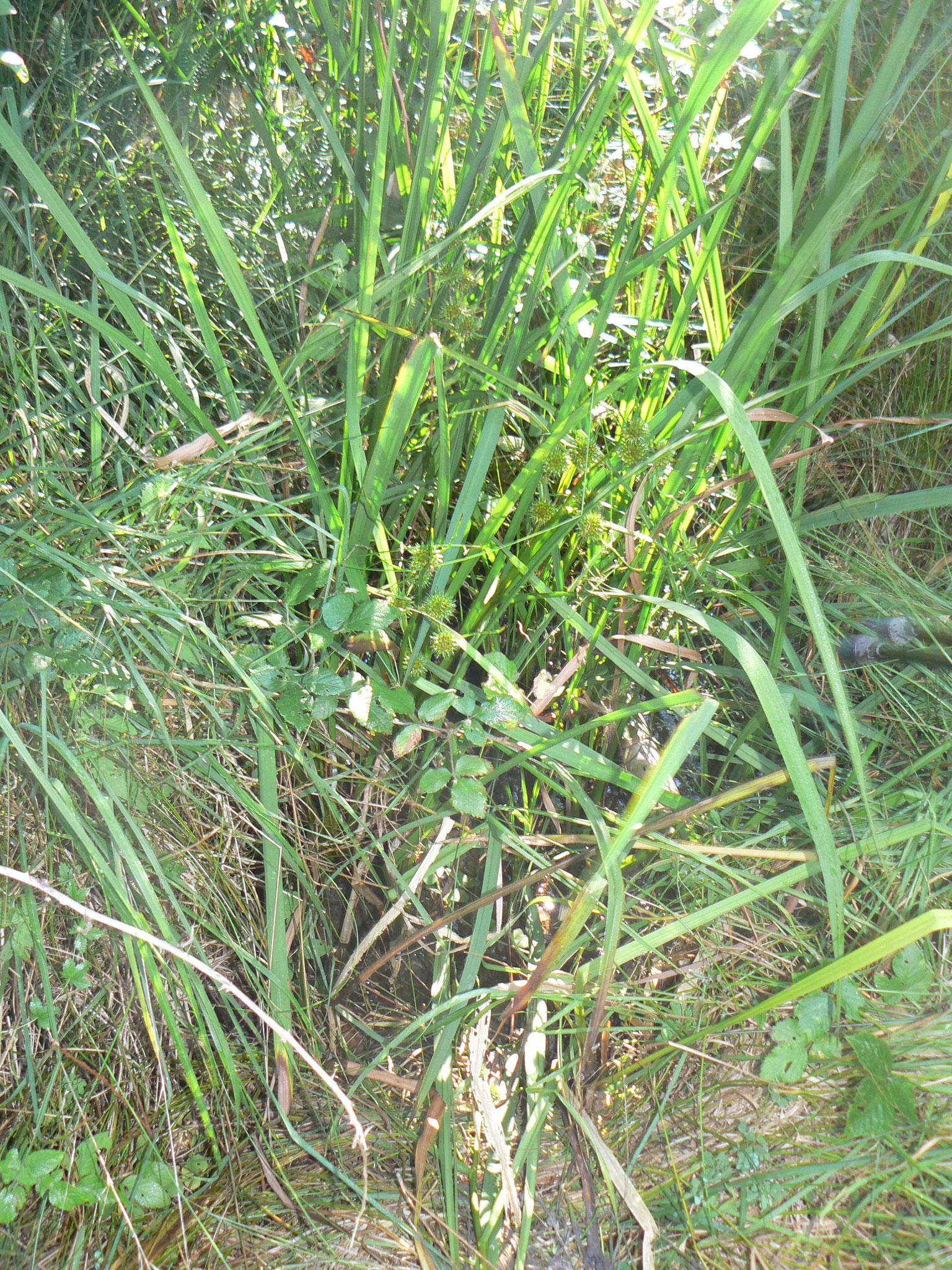 Les Roseaux du Bimby Roseau commun ou Phragmite, très présent au bord des eaux douces, formant des espaces appelés Roselières