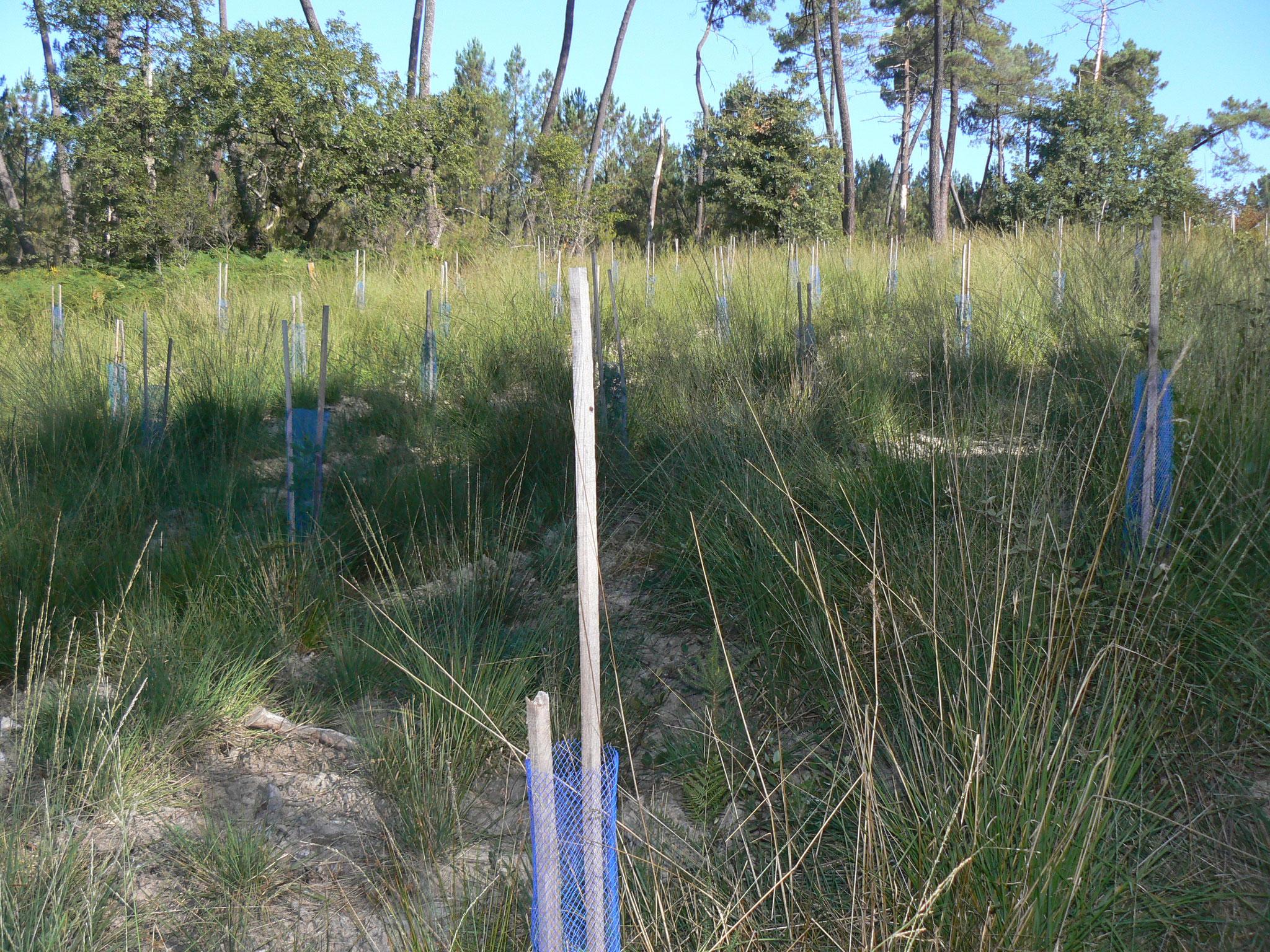 Pour la sauvegarde de la forêt et la diversification des essences   Un exemple pour l'environnement :  Une jeune plantation de chênes