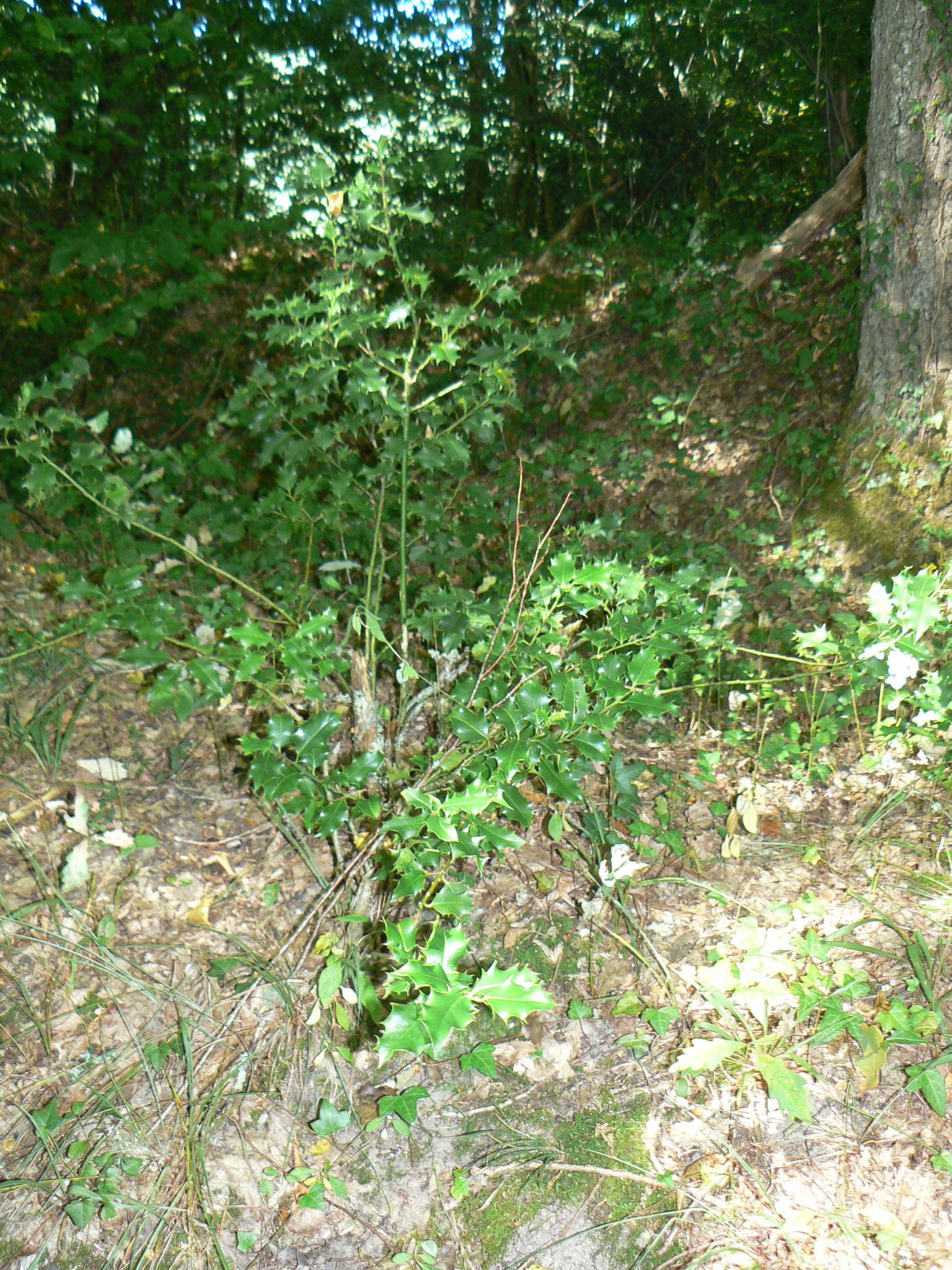 Le Houx (le vrai) « Ilex Aquifolium » Petit arbre à boules rouges préféré du Père Noël