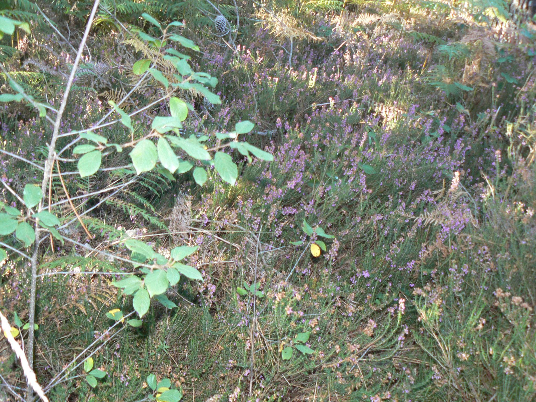Bruyère « Erica carnea »  Plante mellifère à butiner comme nos copines les abeilles.