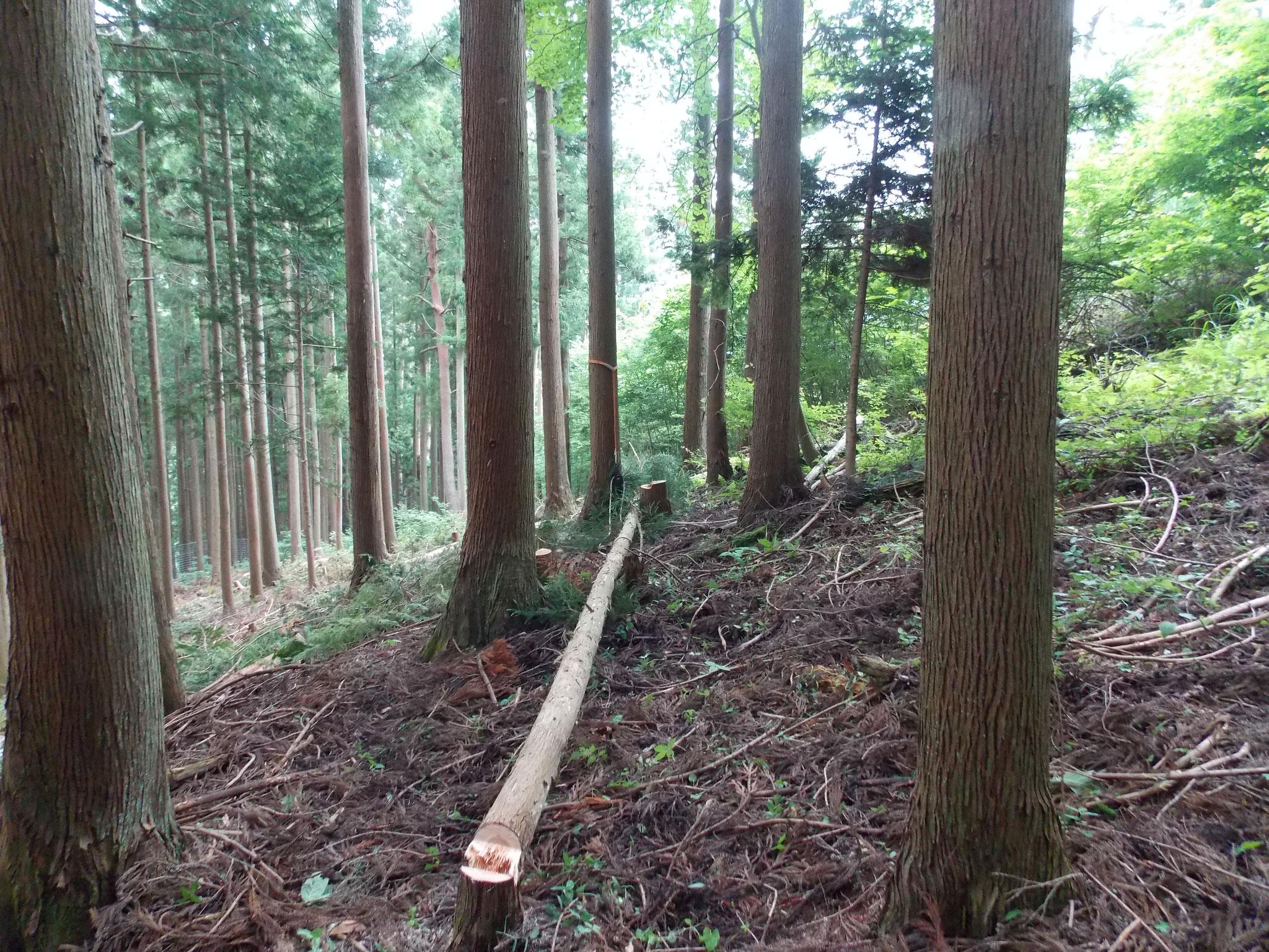 3班間伐活動風景