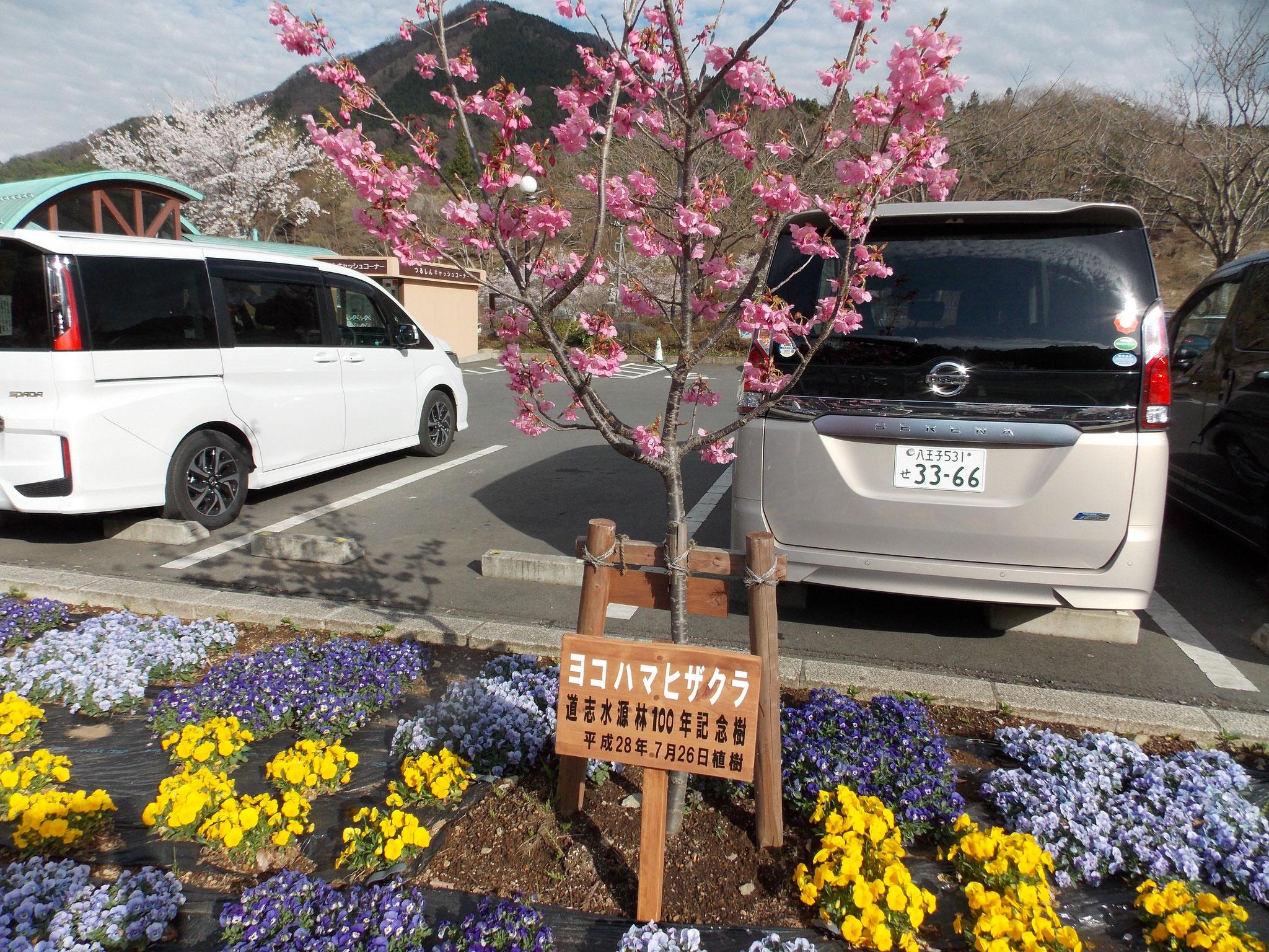 道志村は花盛り:道の駅どうしの横浜ヒザクラ