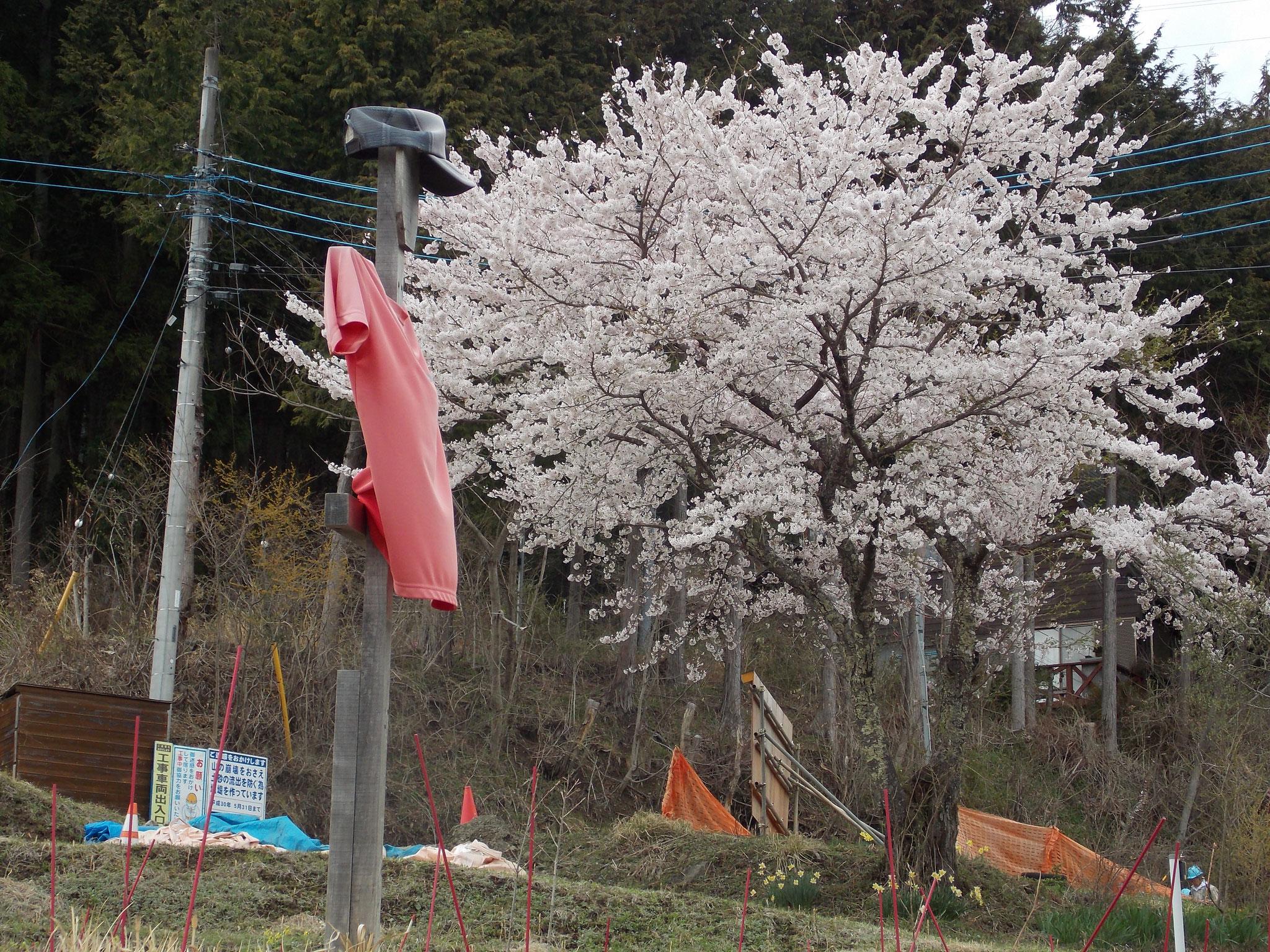 道志村は花盛り:ストックヤード上の桜