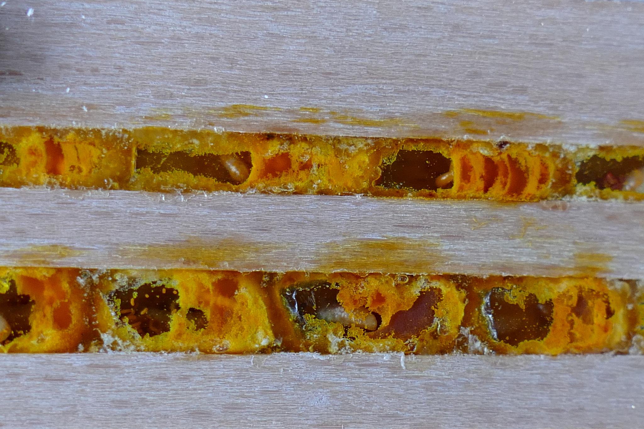 Nistzellen einer Wildbiene