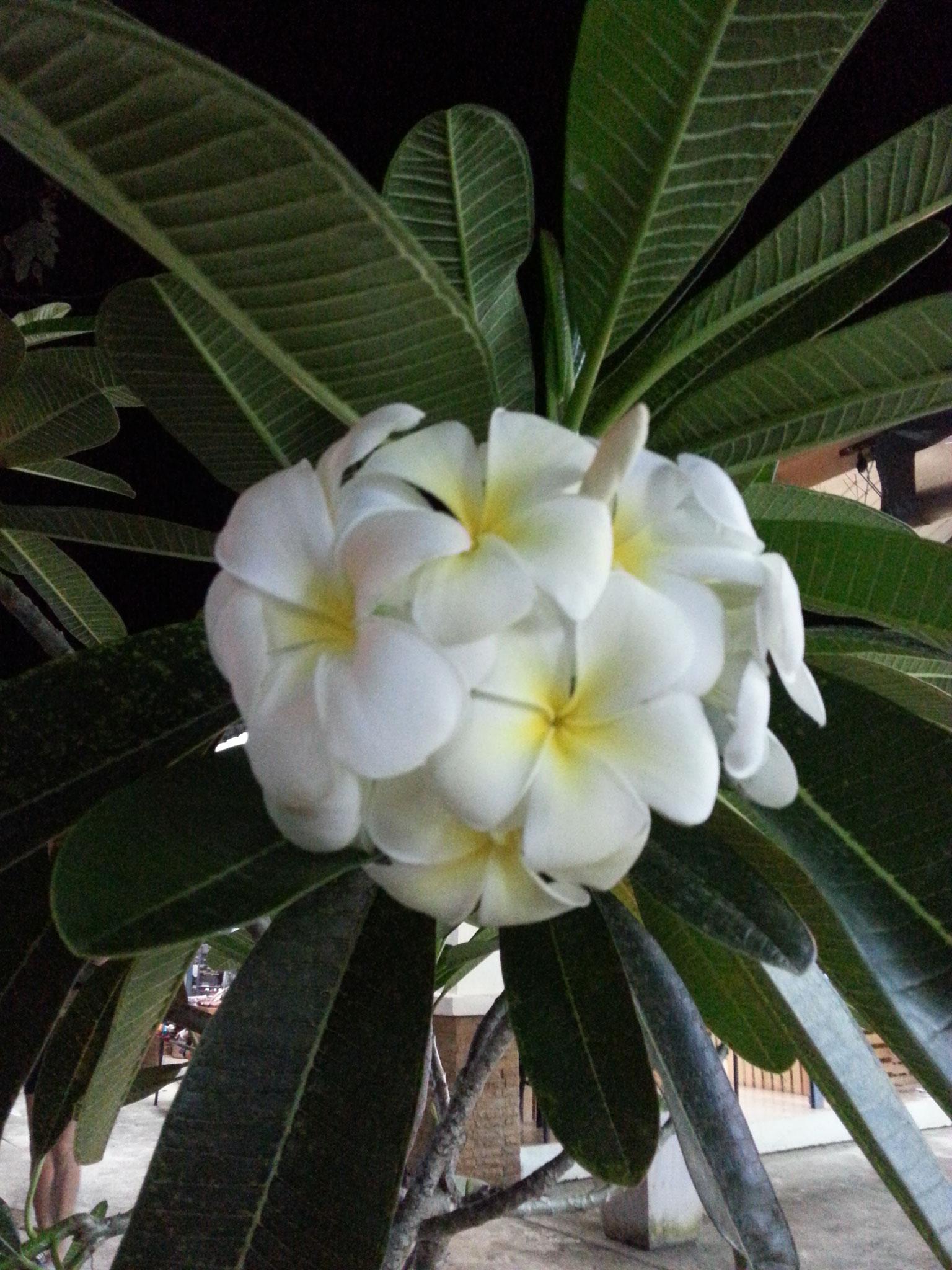 Frangipani - Blumen wie gemalt!