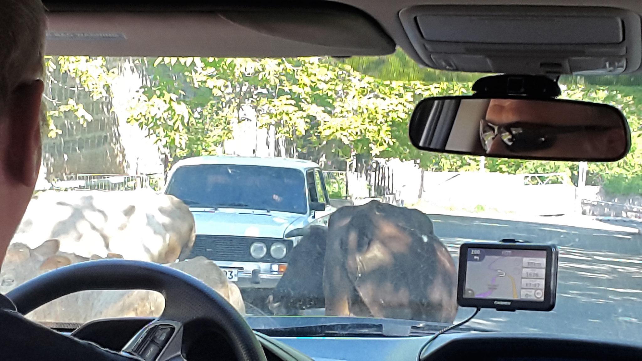 Kühe auf der Straße vom Aragats herunter