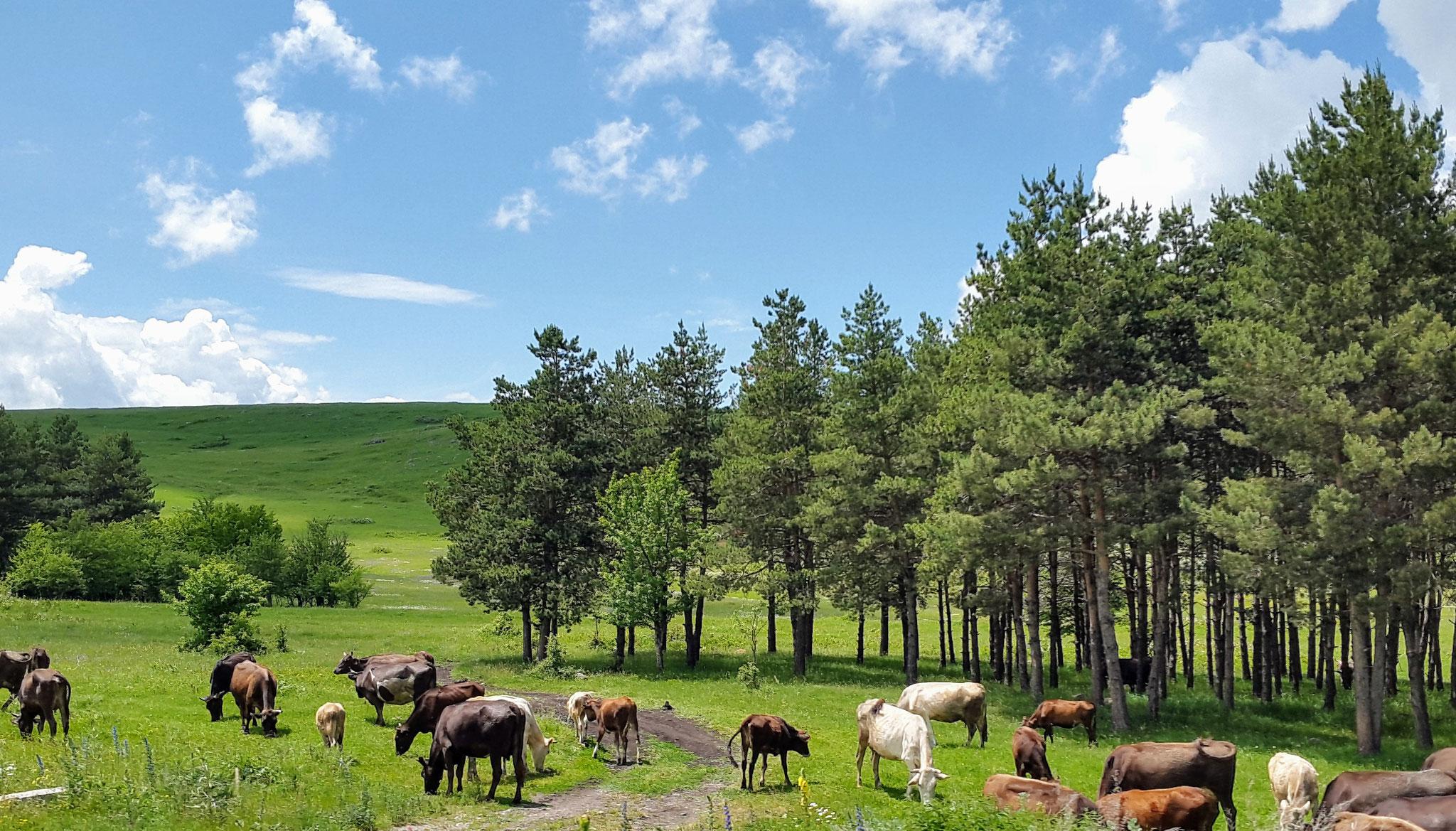 Georgische Kühe