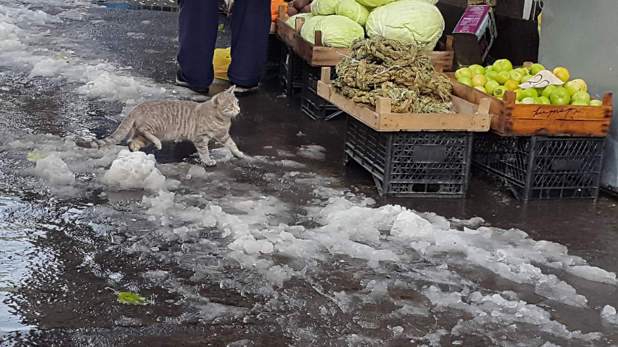Yerevan Anfang November 2016: Unglückliche Katze im Schneematsch