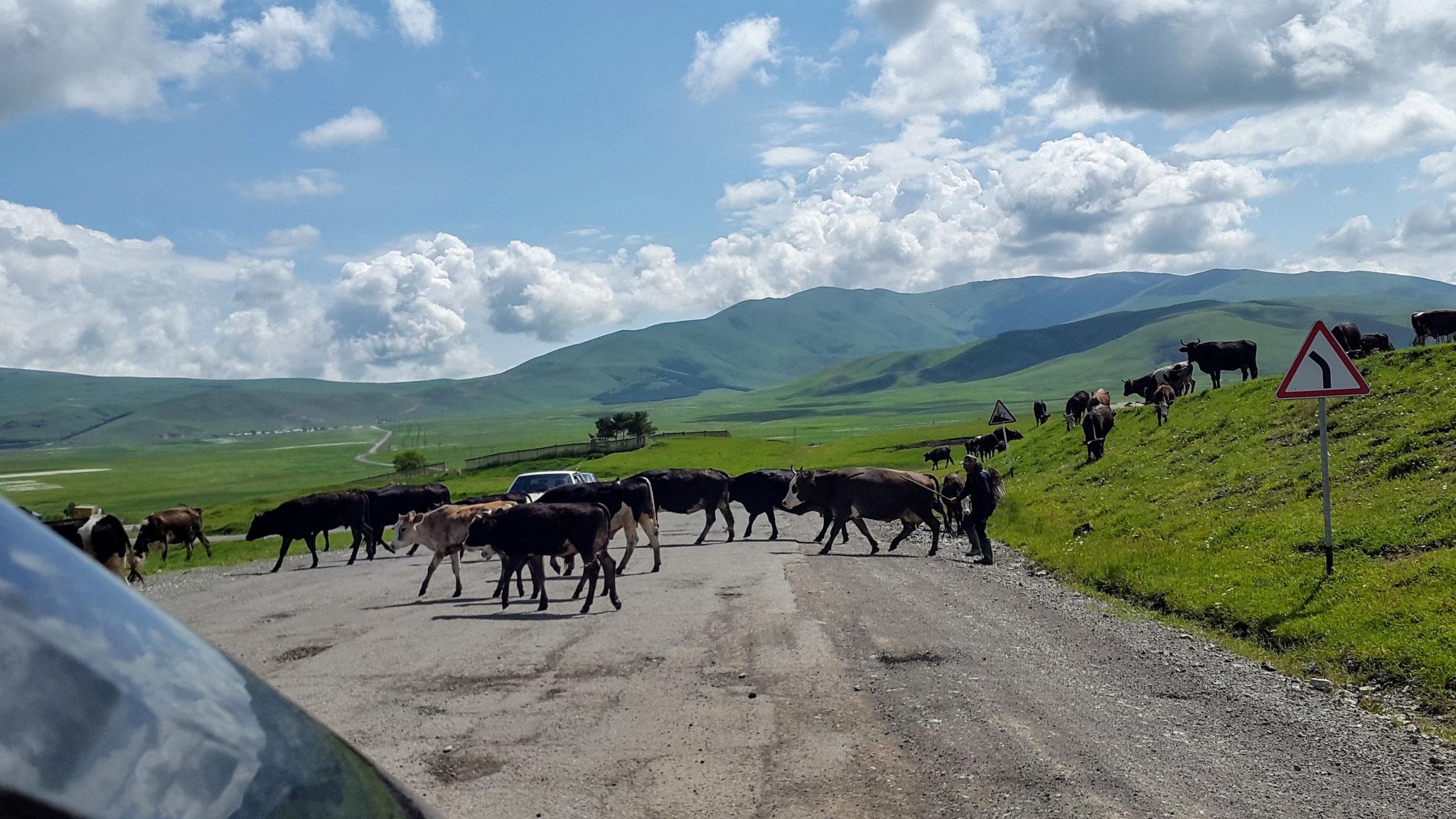 Armenische Kühe