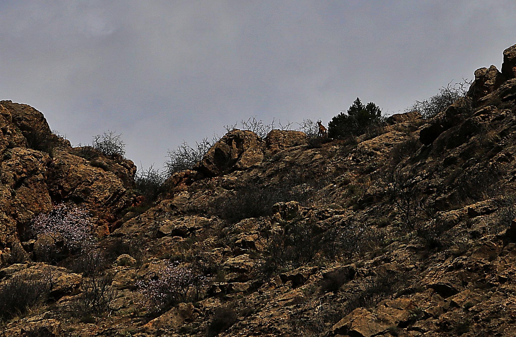 Wildziege auf einem Bergkamm im Tal von Noravank