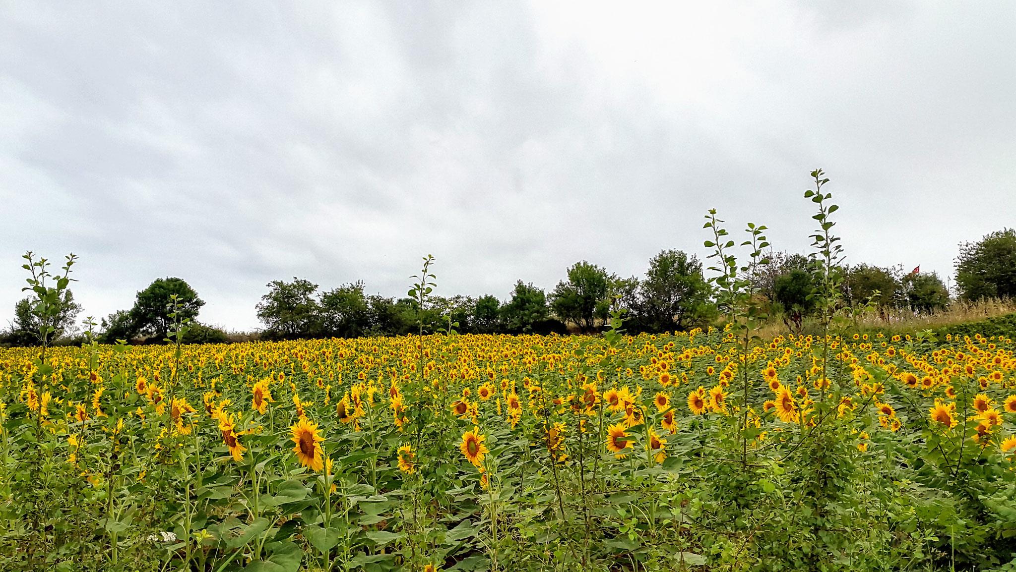 Eines von ganz vielen Sonnenblumenfeldern