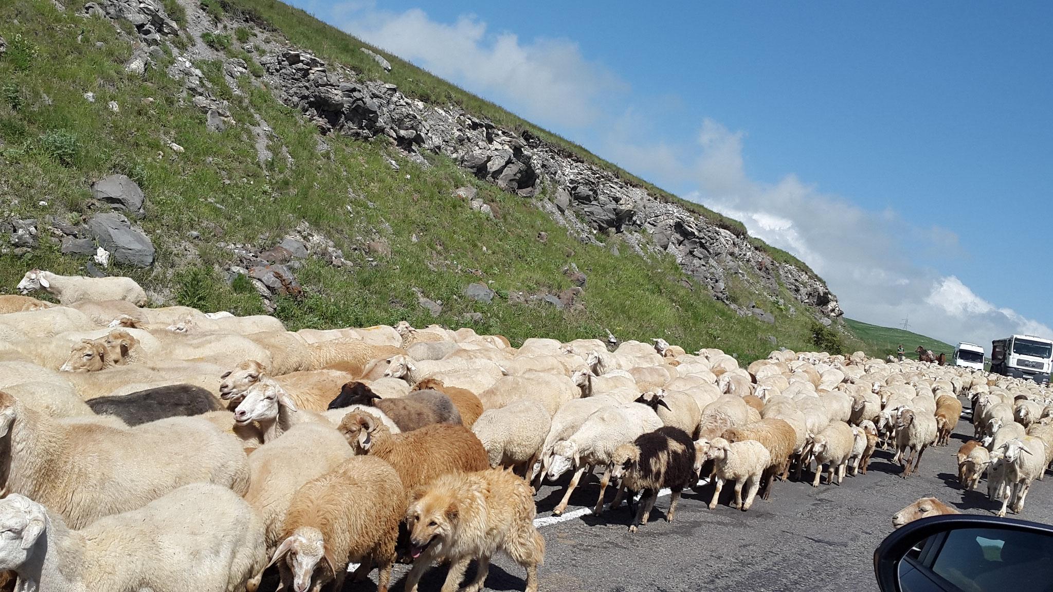 Schafspause