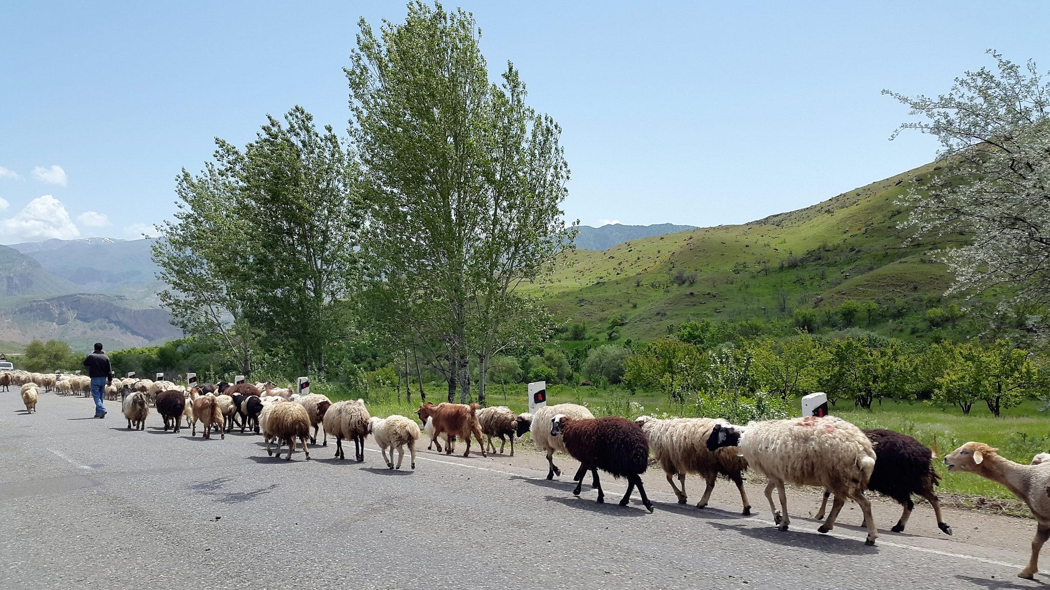 Schafherde auf der Straße nach Jermuk