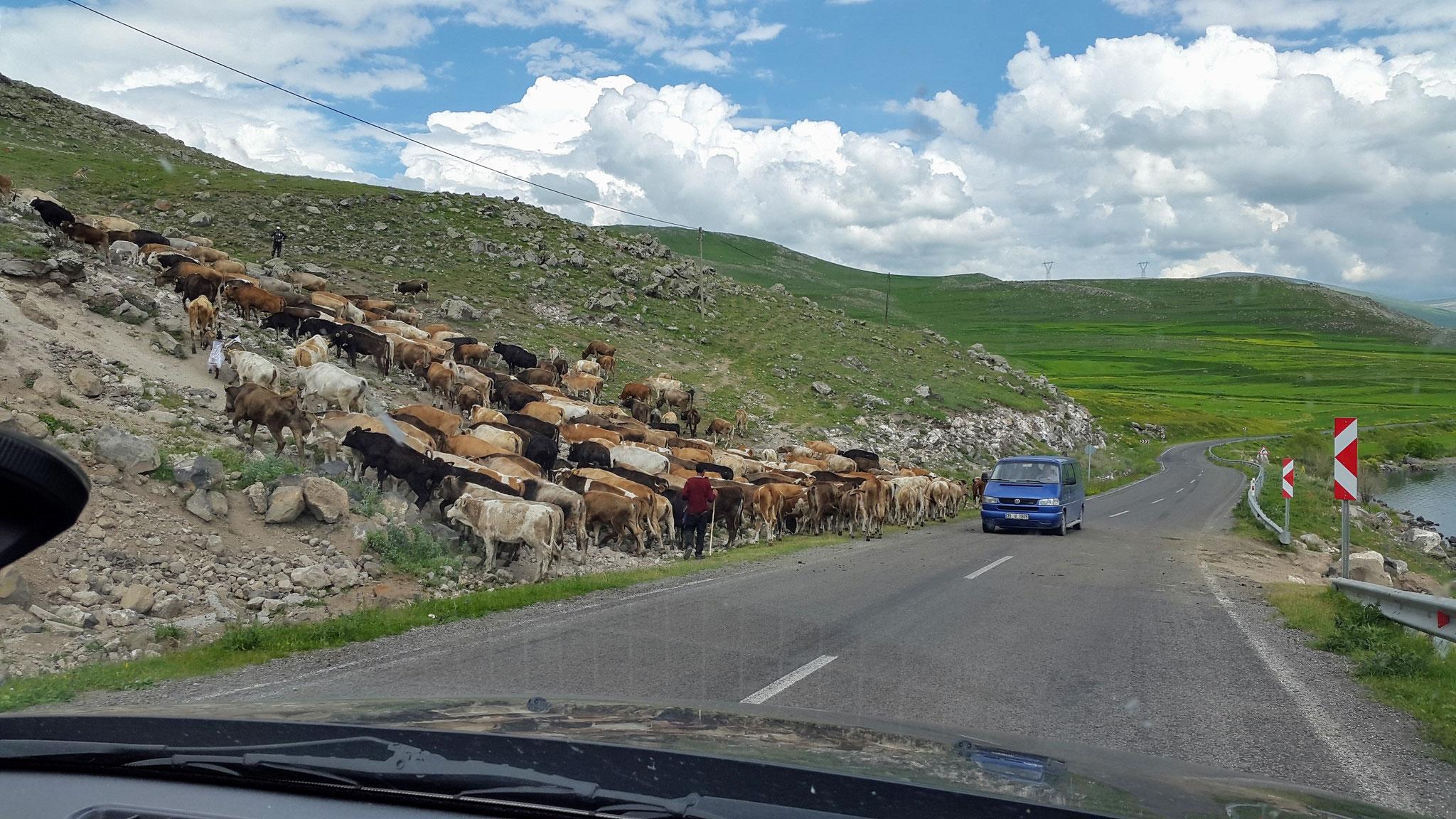 Türkische Kühe