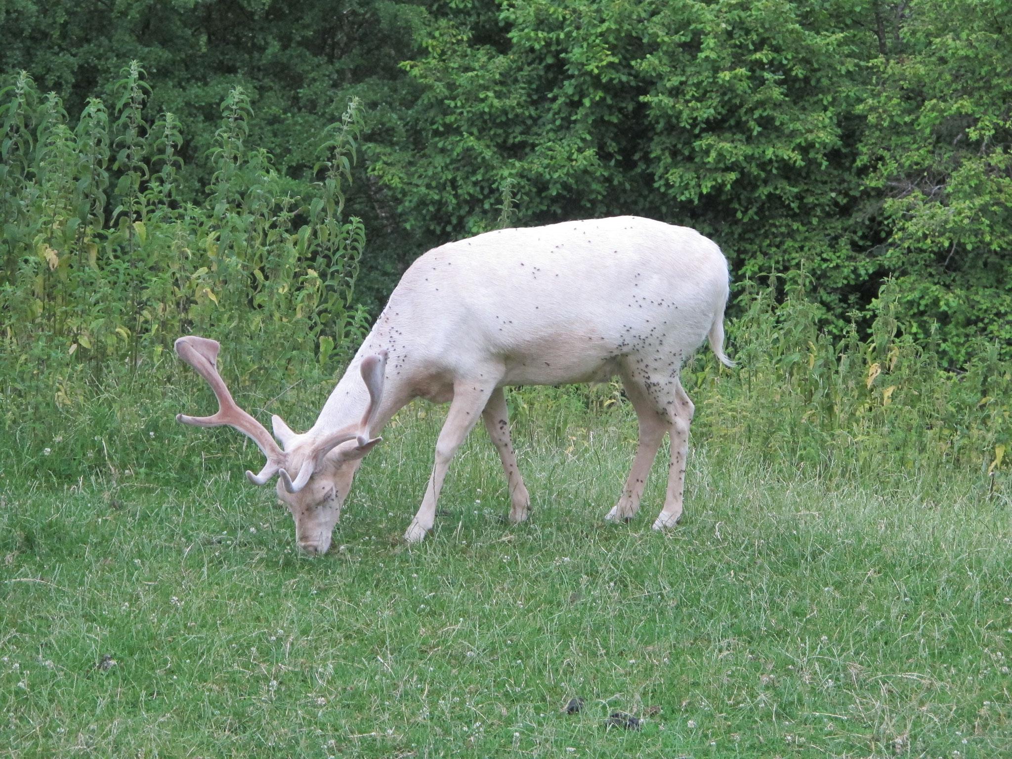 Dammhirsch - Albino, der weiße Hirsch aus dem Märchen der Brüder Grimm