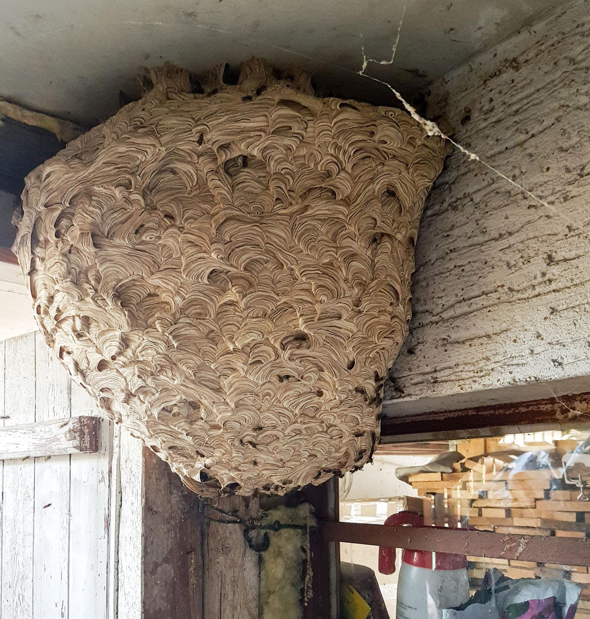 Großes Nest der 'Gemeinen Wespe' in einer Gartenlaube