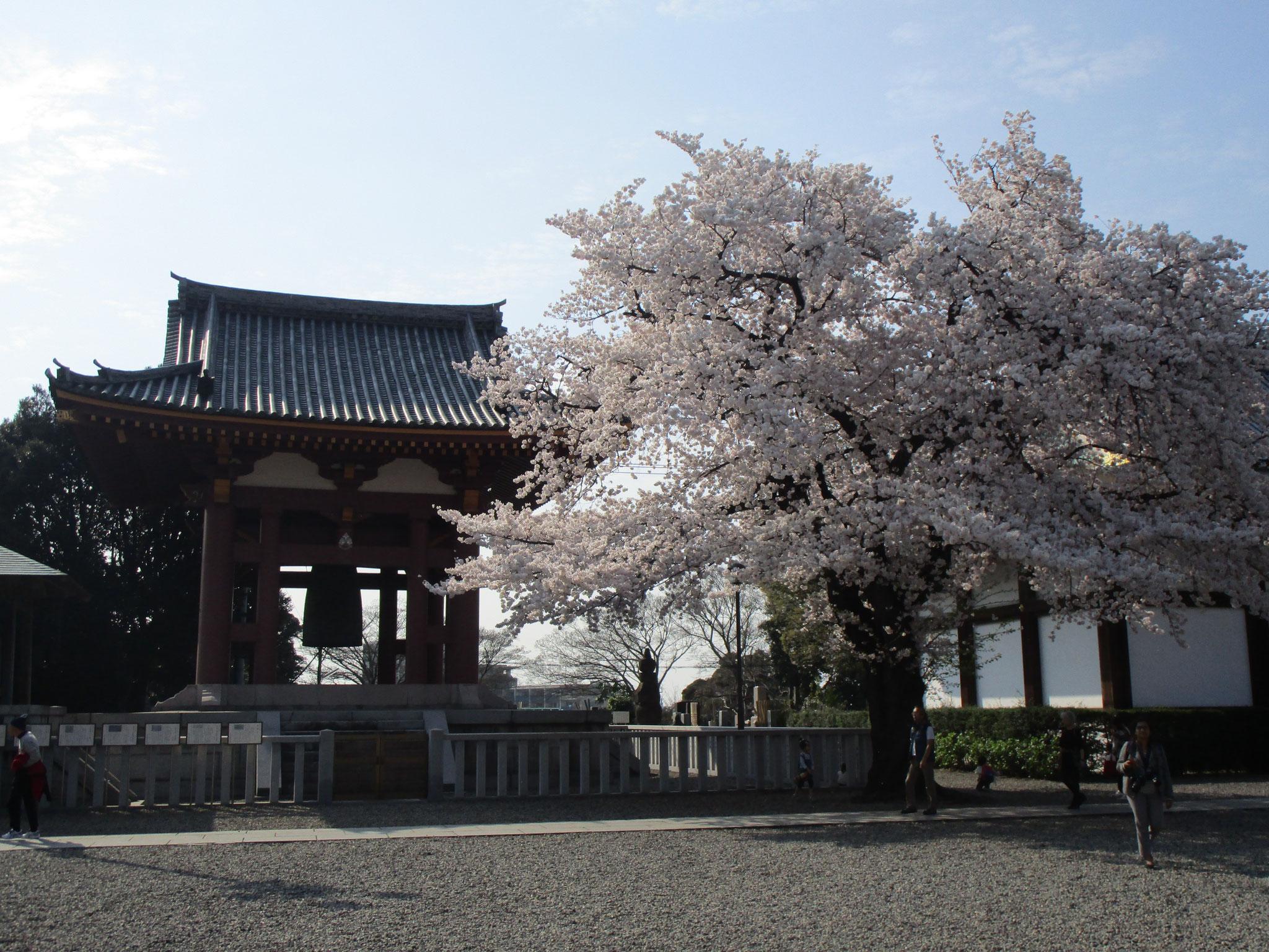 鐘楼の側にも桜