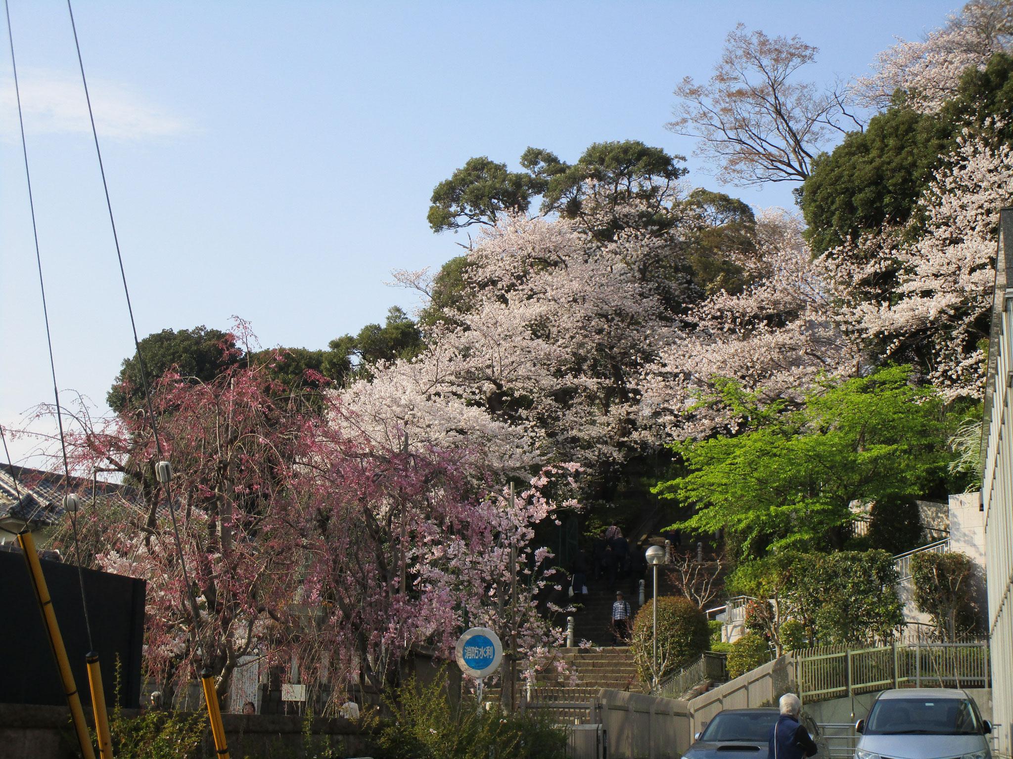 階段の横には、色とりどりの桜