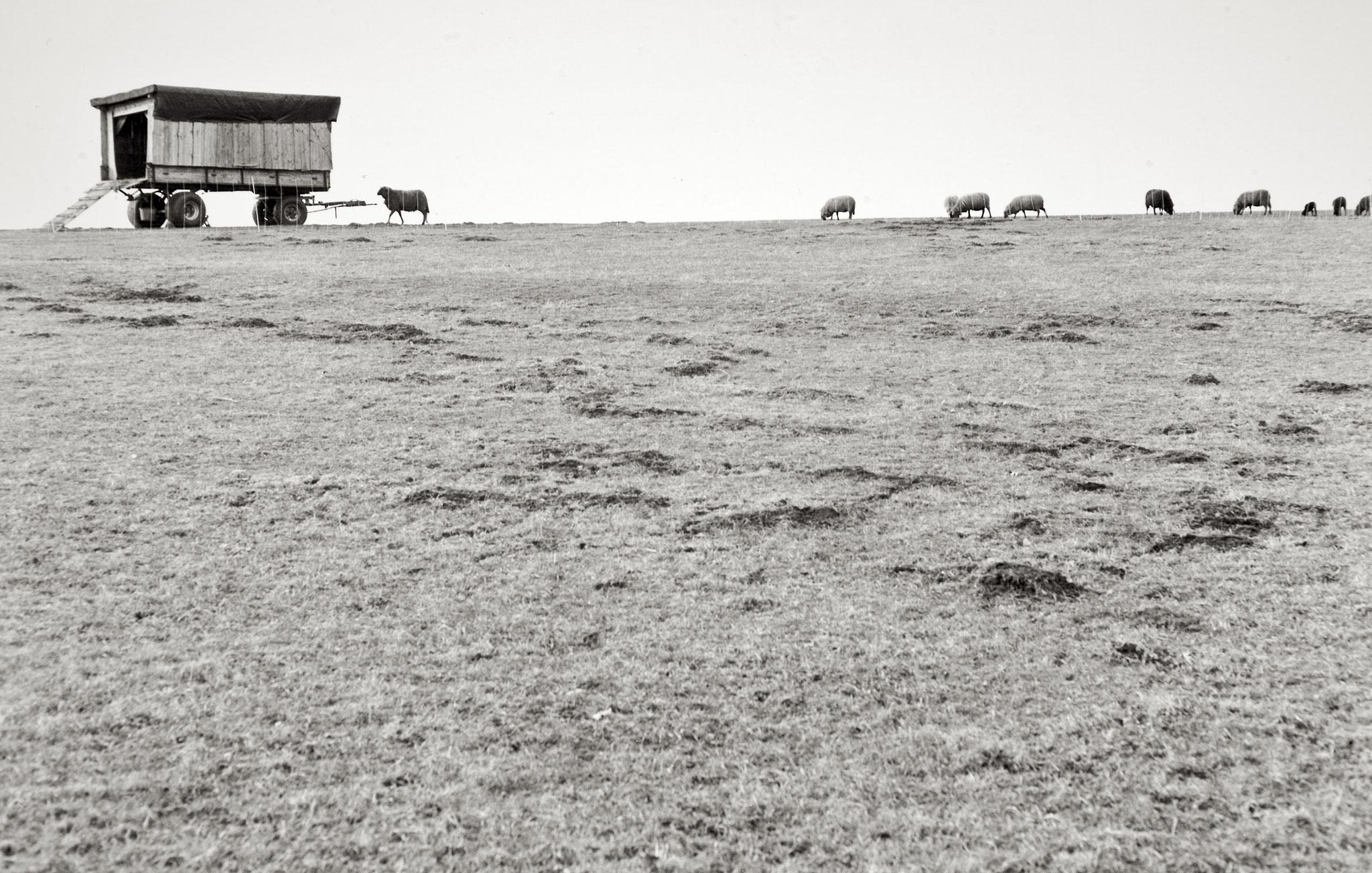 Schafe, Dettenschwang