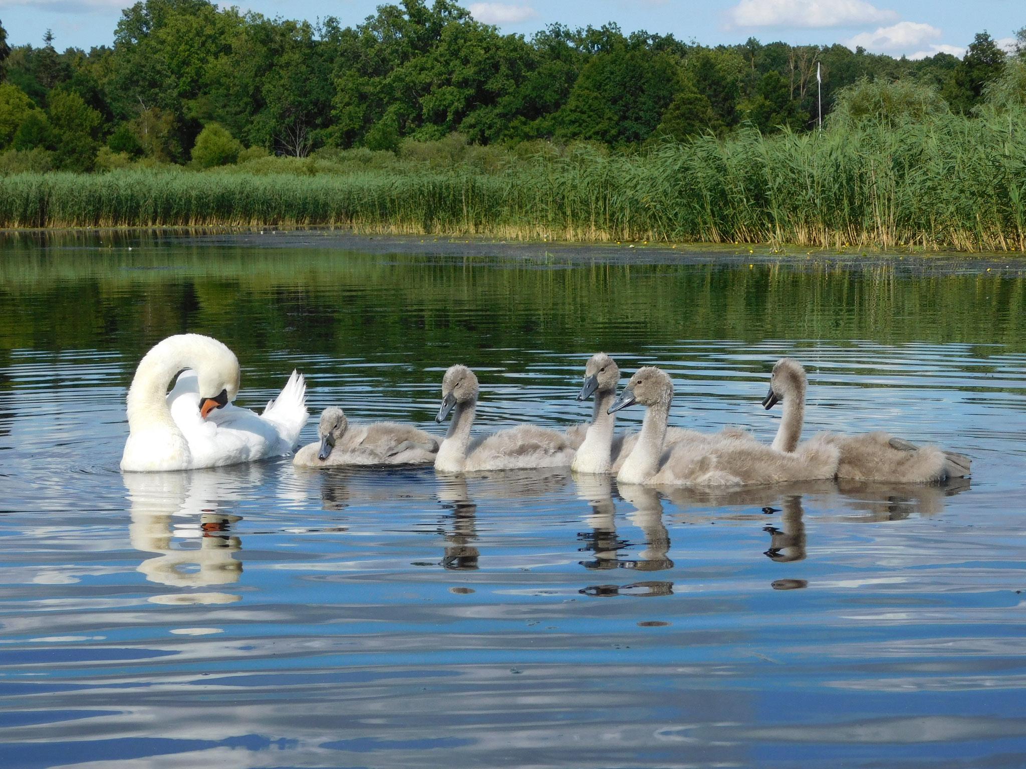 Schwanenfamilie auf dem Templiner Kanal.