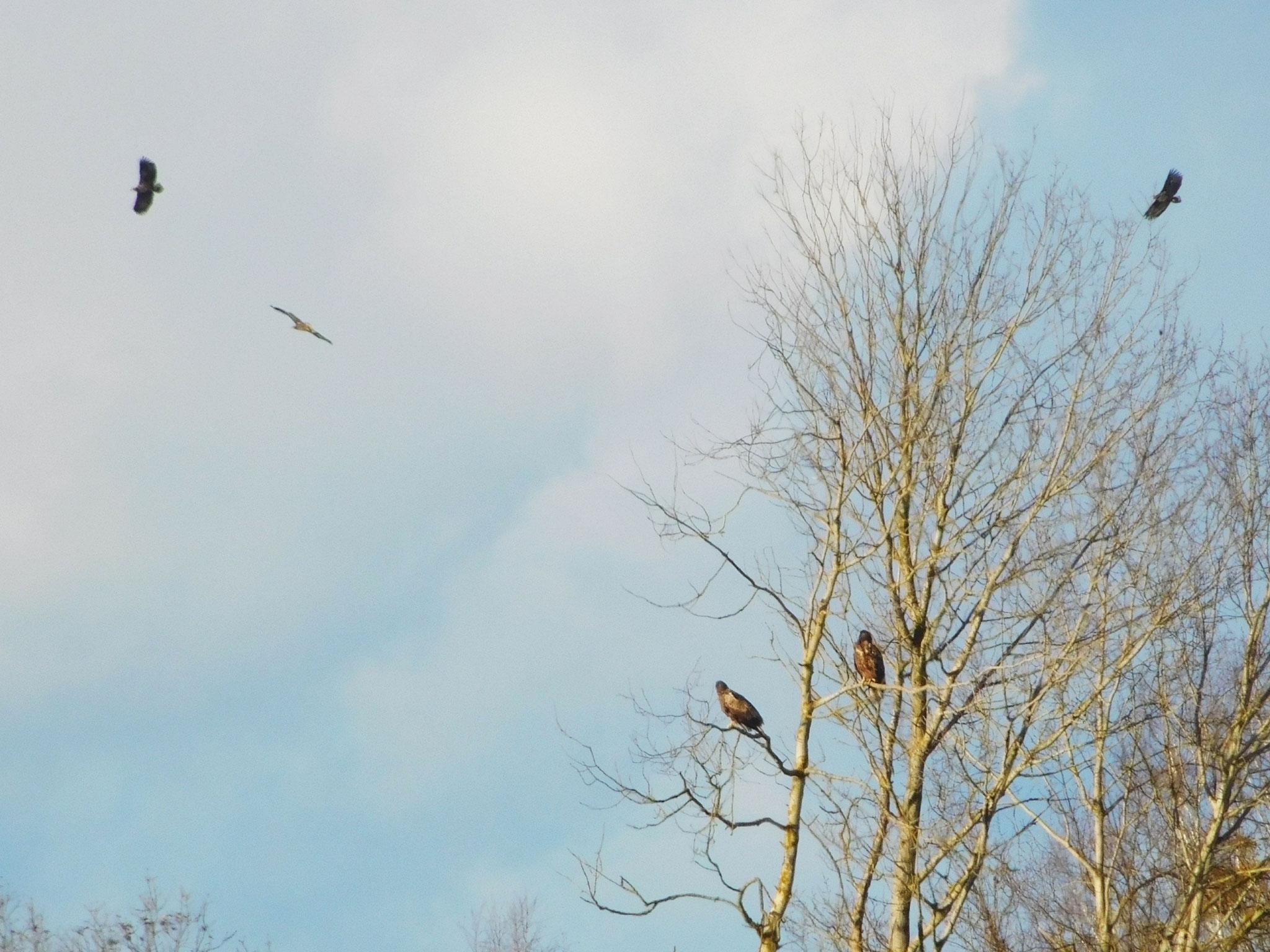 """Fünf Seeadler im Naturschutzgebiet ,,Kleine Schorfheide""""."""