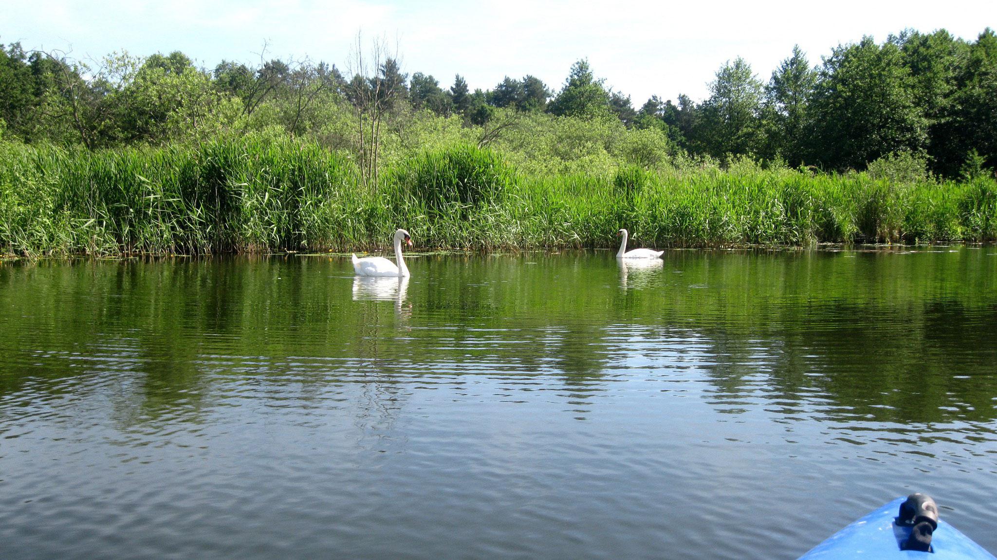 Höckerschwäne auf dem Templiner Kanal.