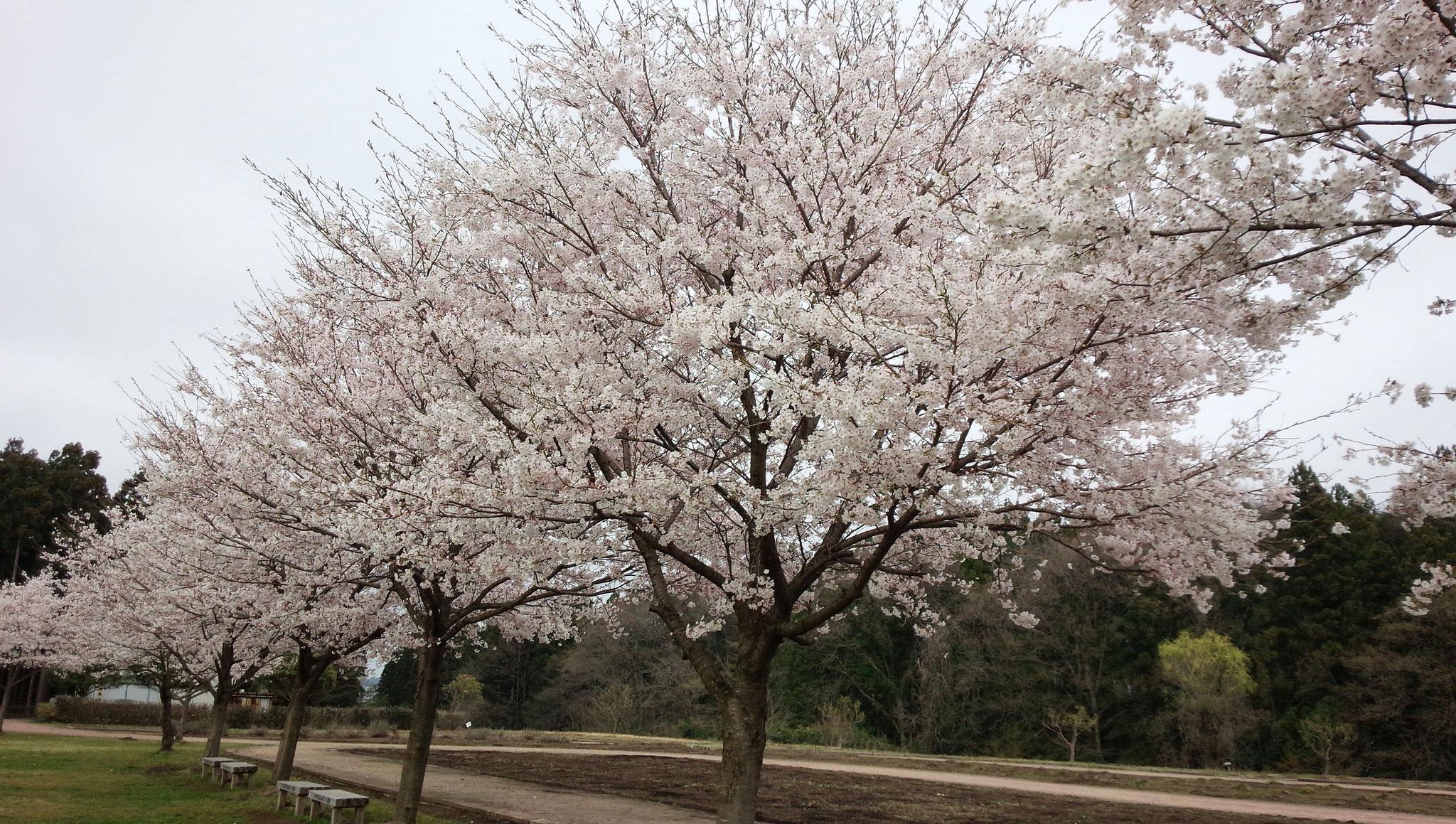 ロマンチック村の植樹
