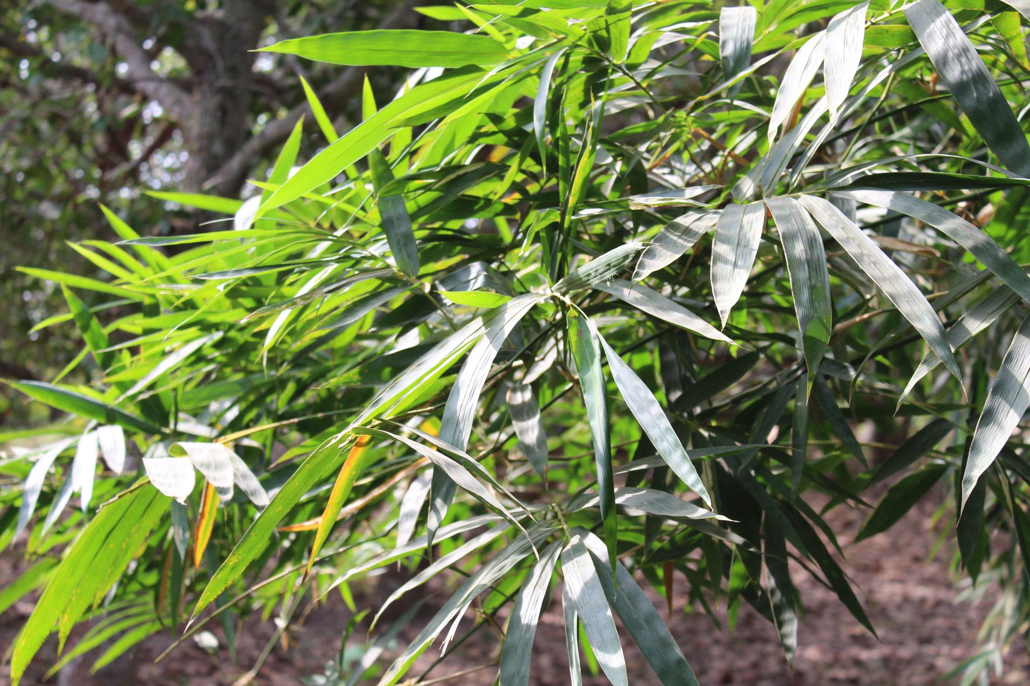 Bambuswälder produzieren mehr Sauerstoff und speichern mehr CO2 als Laubbaumwälder.