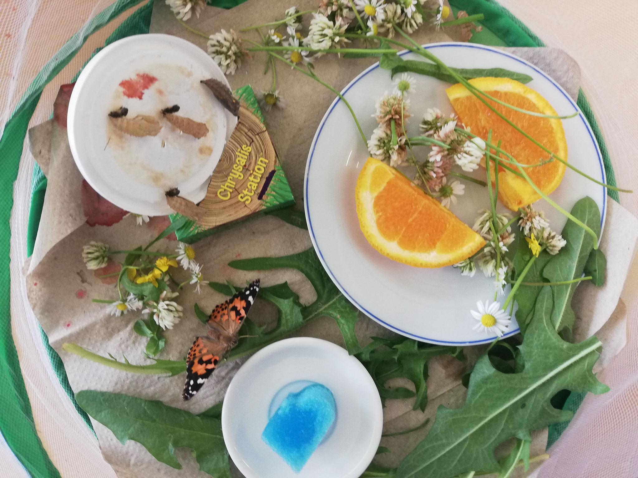 Schmetterlingshabitat mit lauter Leckereien...