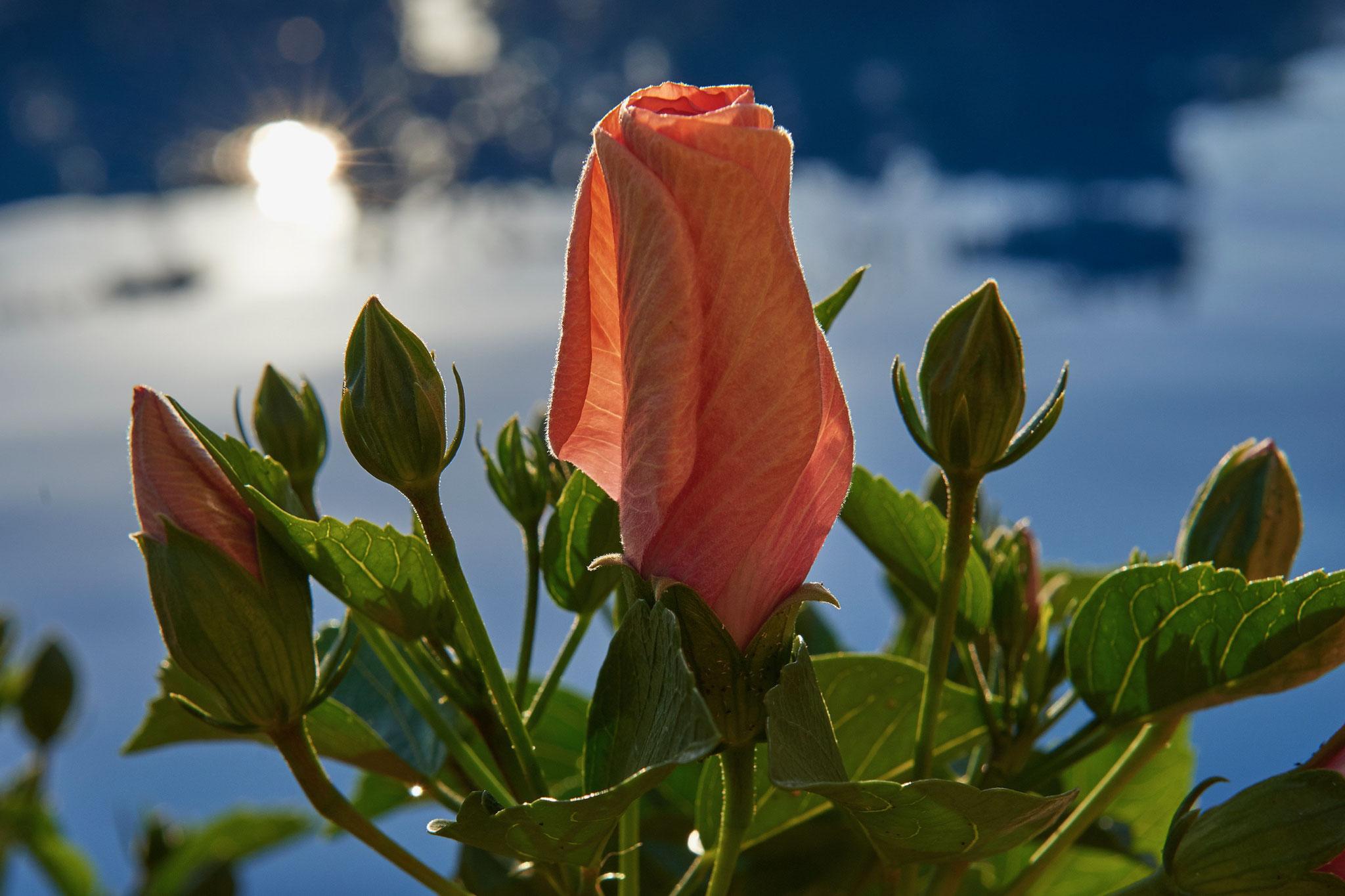 Hibiskusblüte kurz vor dem Aufblühen Tschaggo