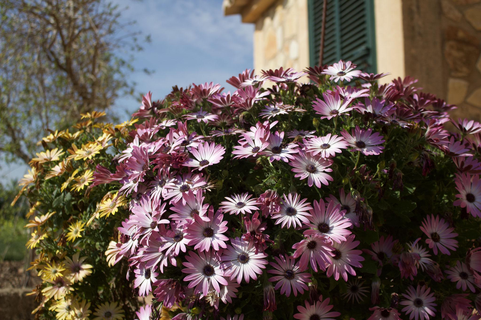 Osteospermum sooo schön auf Mallorca
