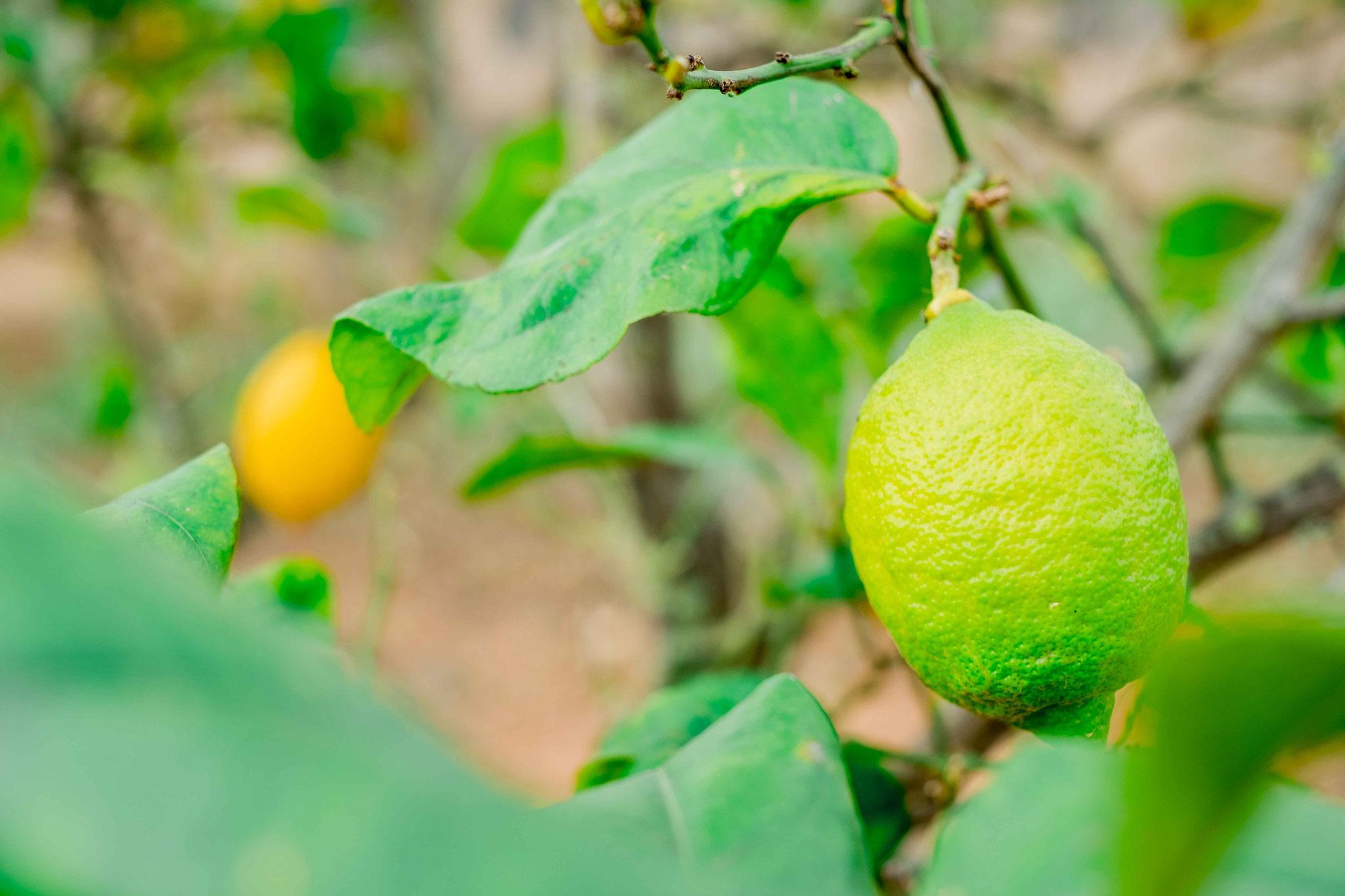 Zitronen aus dem Garten -  Danke Sabine
