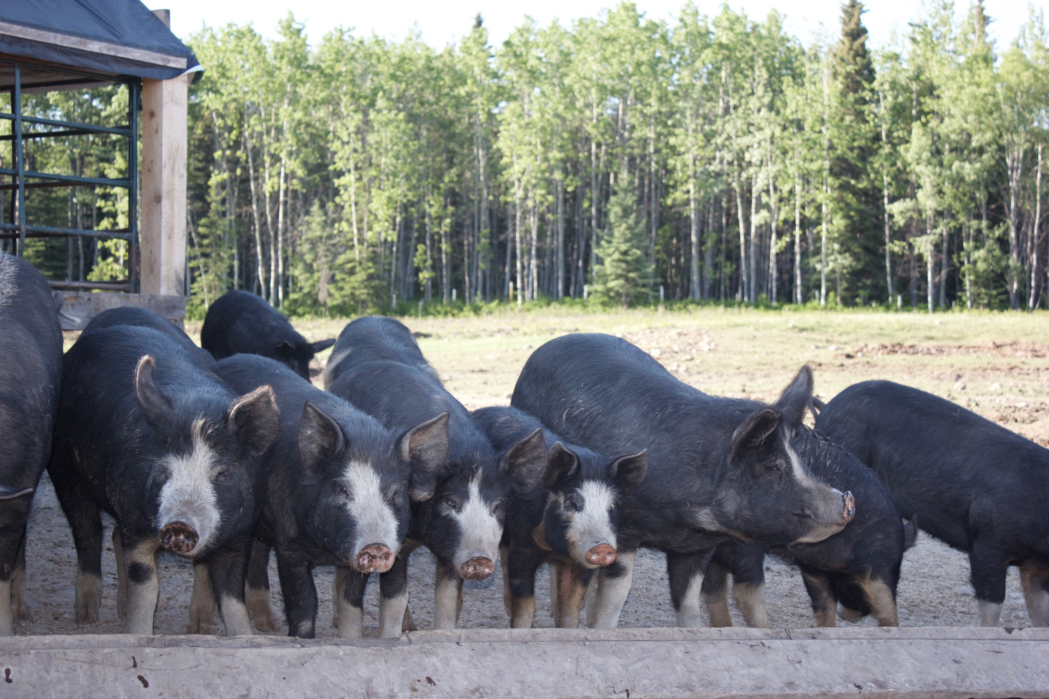 Happy Pigs waiting to get feeded