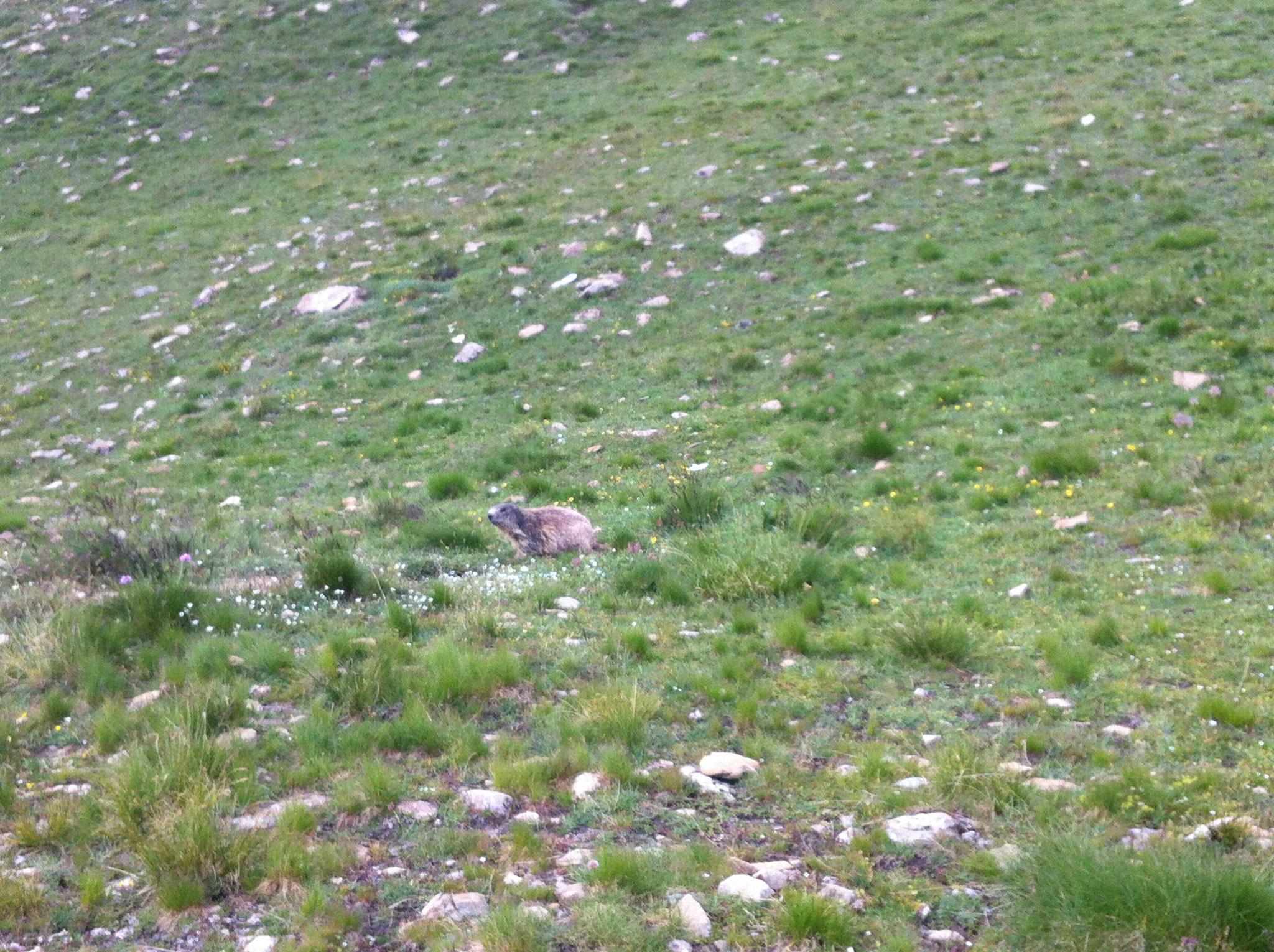 14-Les Taureaux Ailés c'est sympa, mais les marmottes mignonnes aussi..