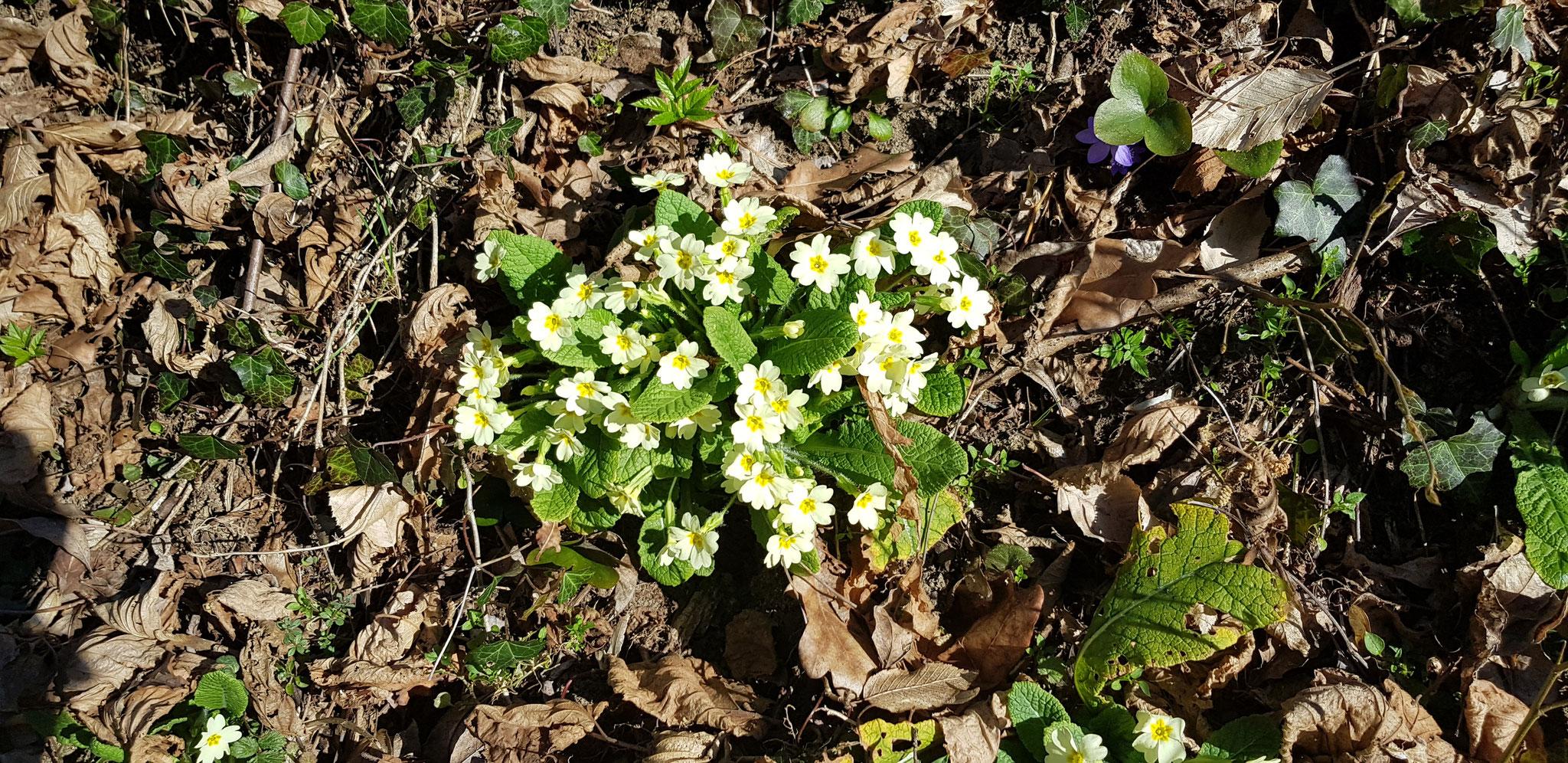Frühlingsbote 1