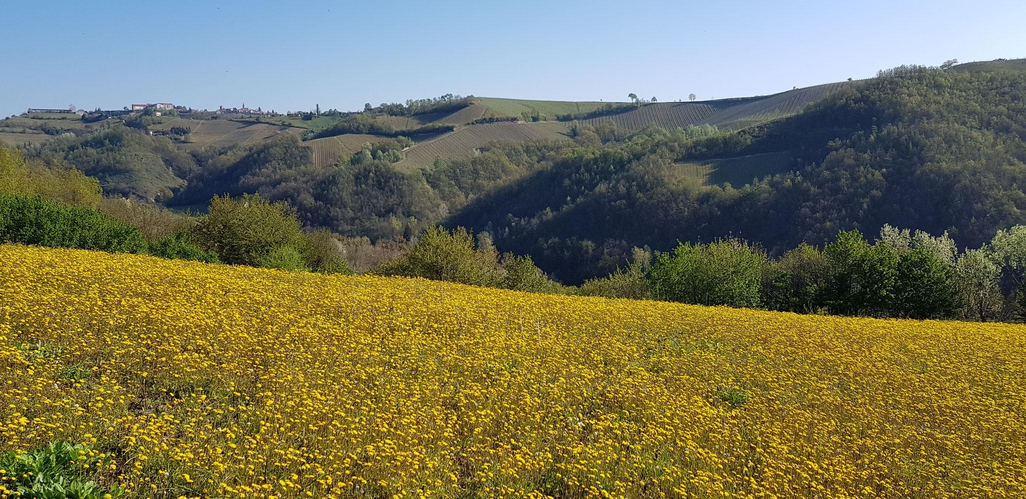 Gelb pur auf unseren Wanderungen durch die Hügel.