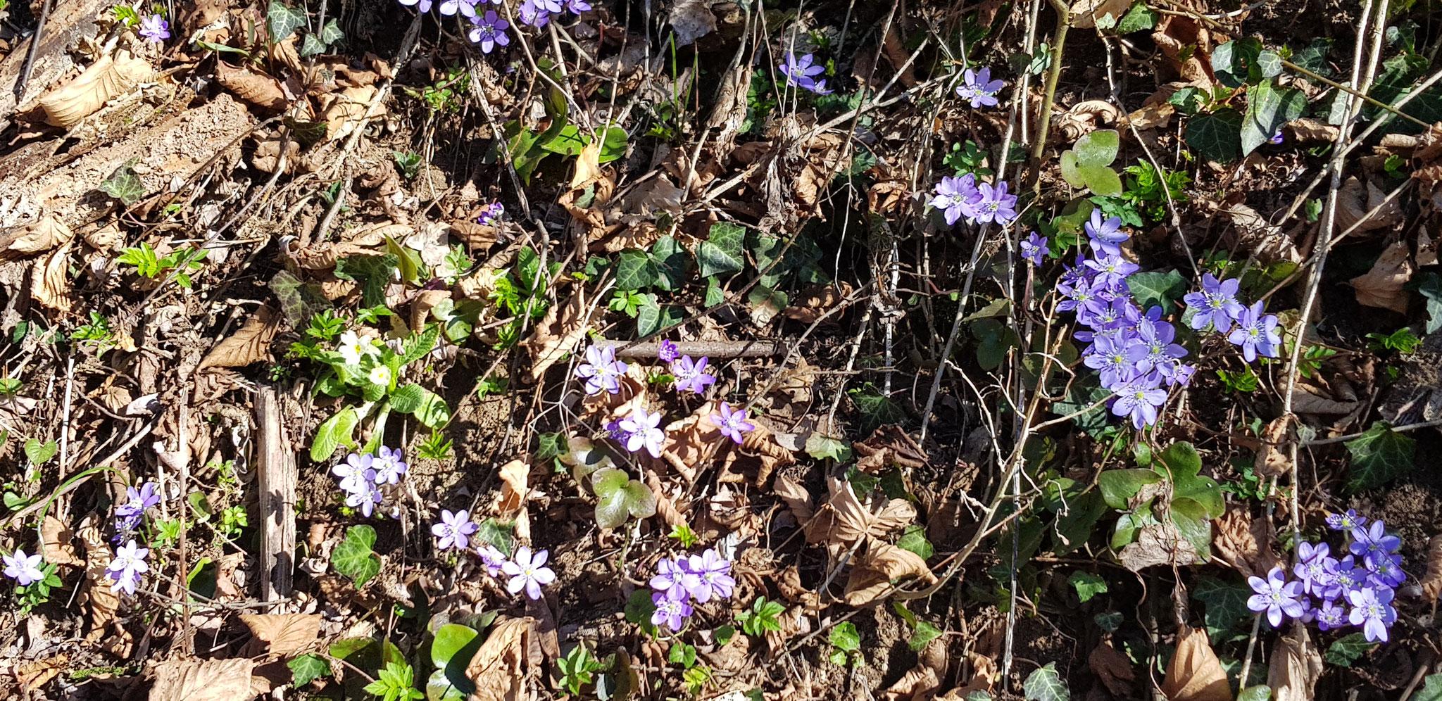 Frühlingsbote 2
