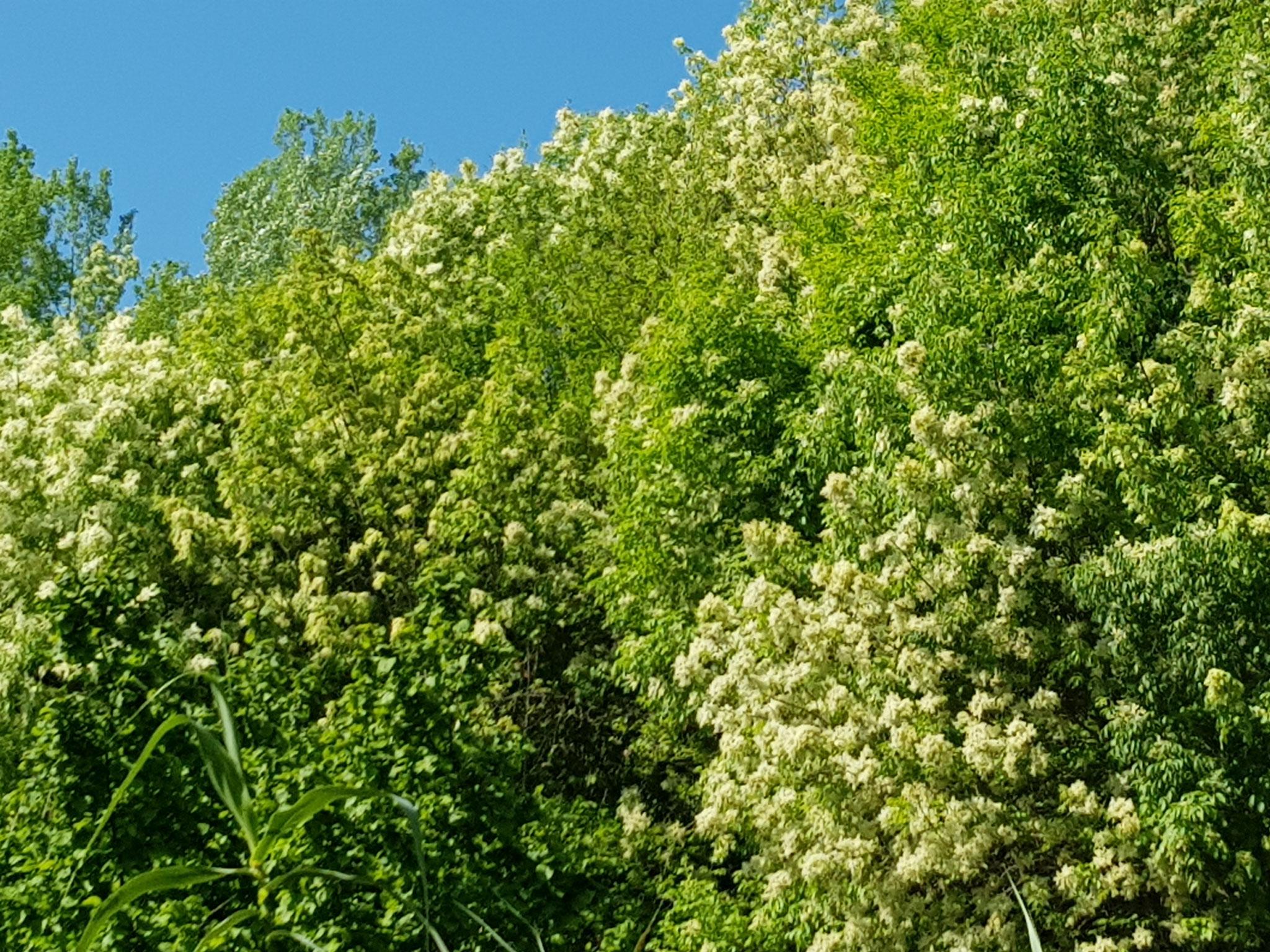 Ein ganzer Robinienwald.