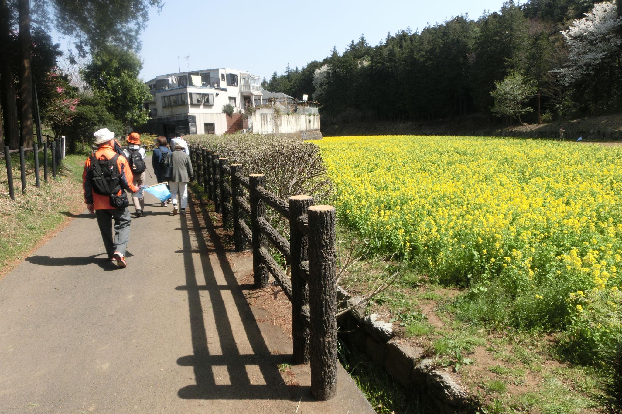 追分市民の森・菜の花畑