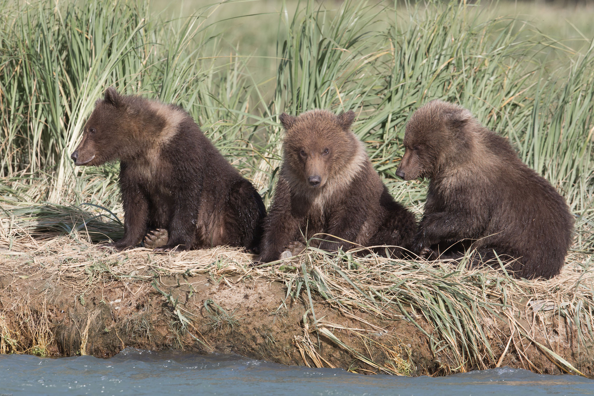 Alaska Grizzly cubs