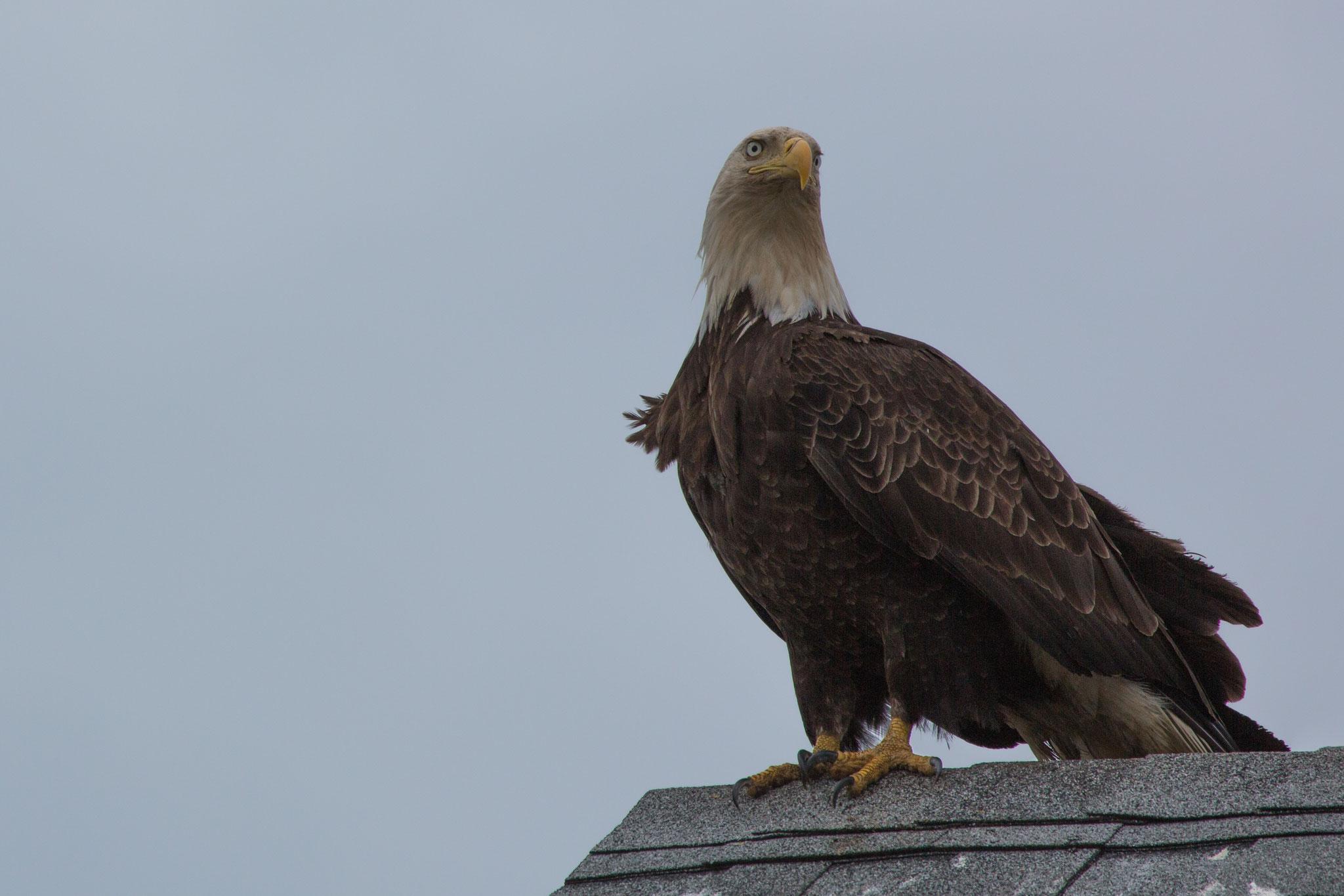 Weisskopfseeadler auf Dach in Homer