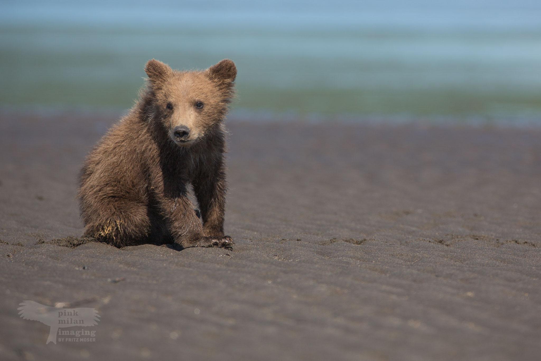 Alaska Grizzly cub