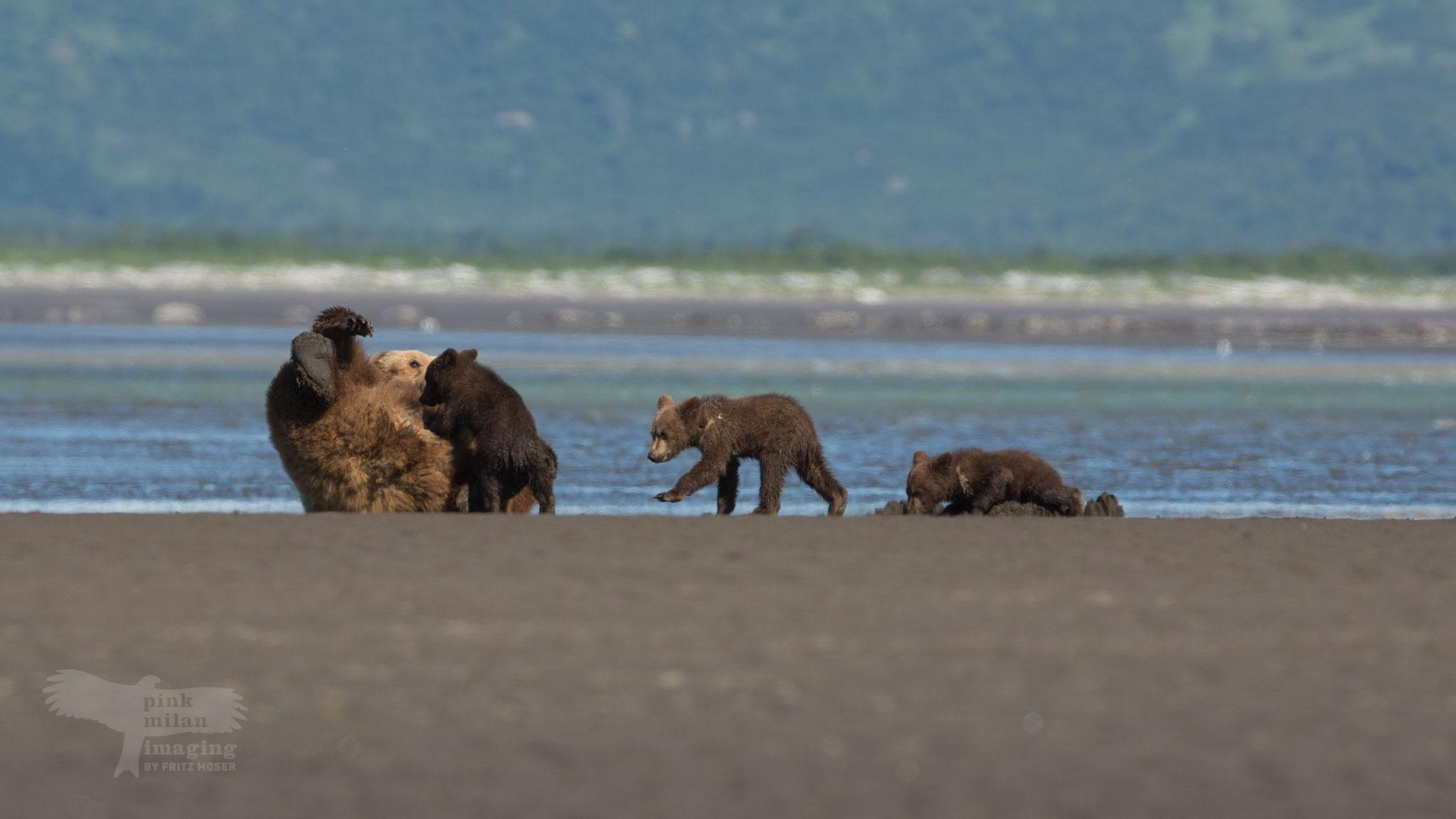 Alaska Grizzly in tidal zone
