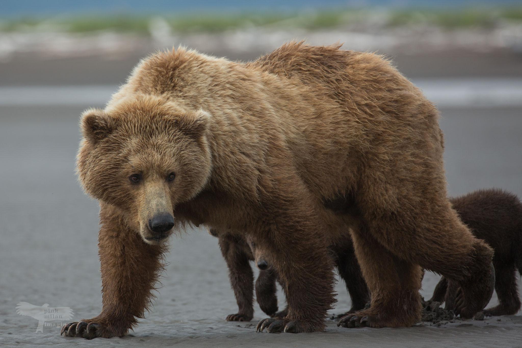 Alaska Grizzly