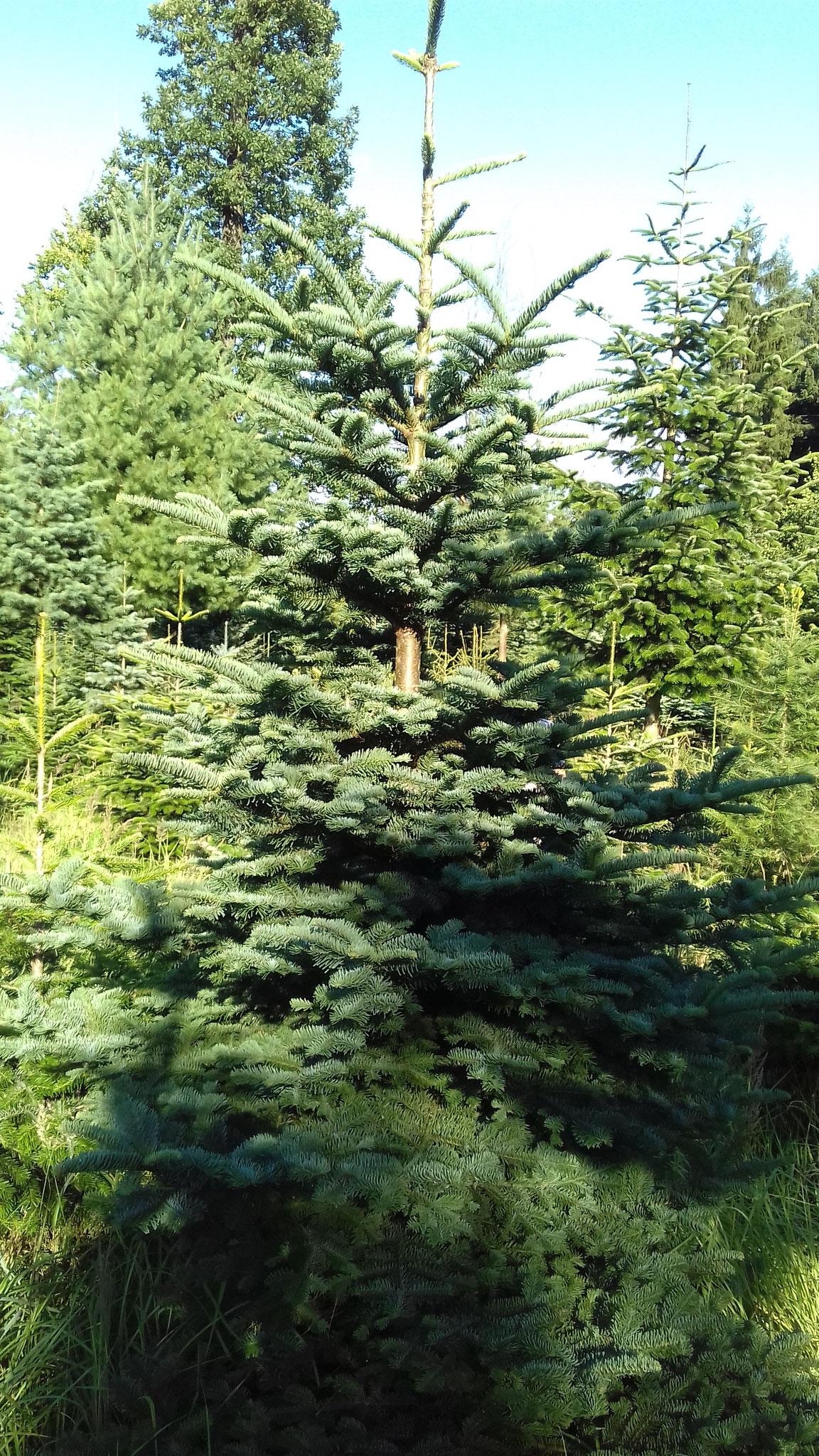 Nobilis, Hildesheimer Wald
