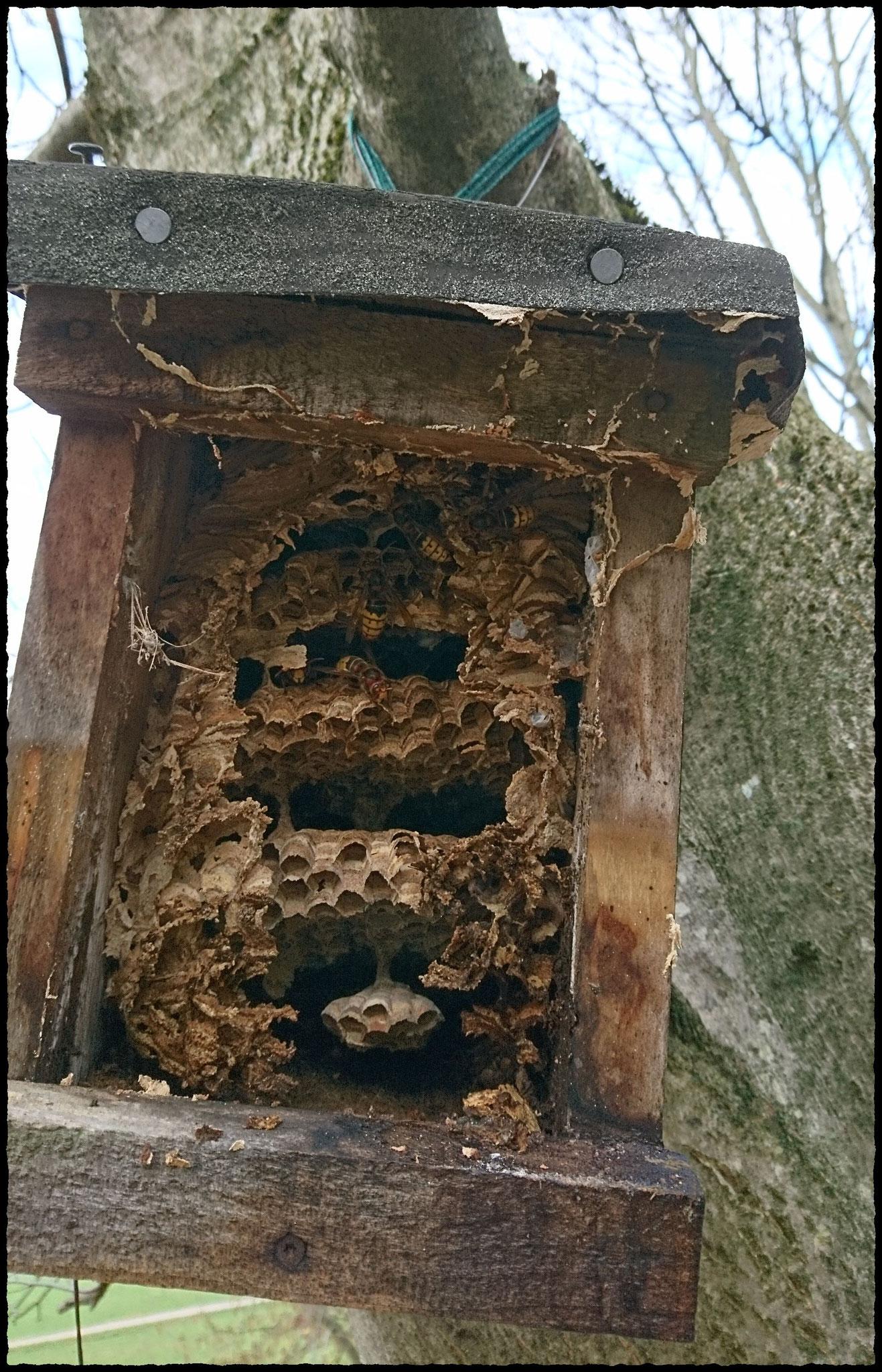 Ein Holznistkasten, gefüllt mit mehrstöckigen Hornissenwaben.